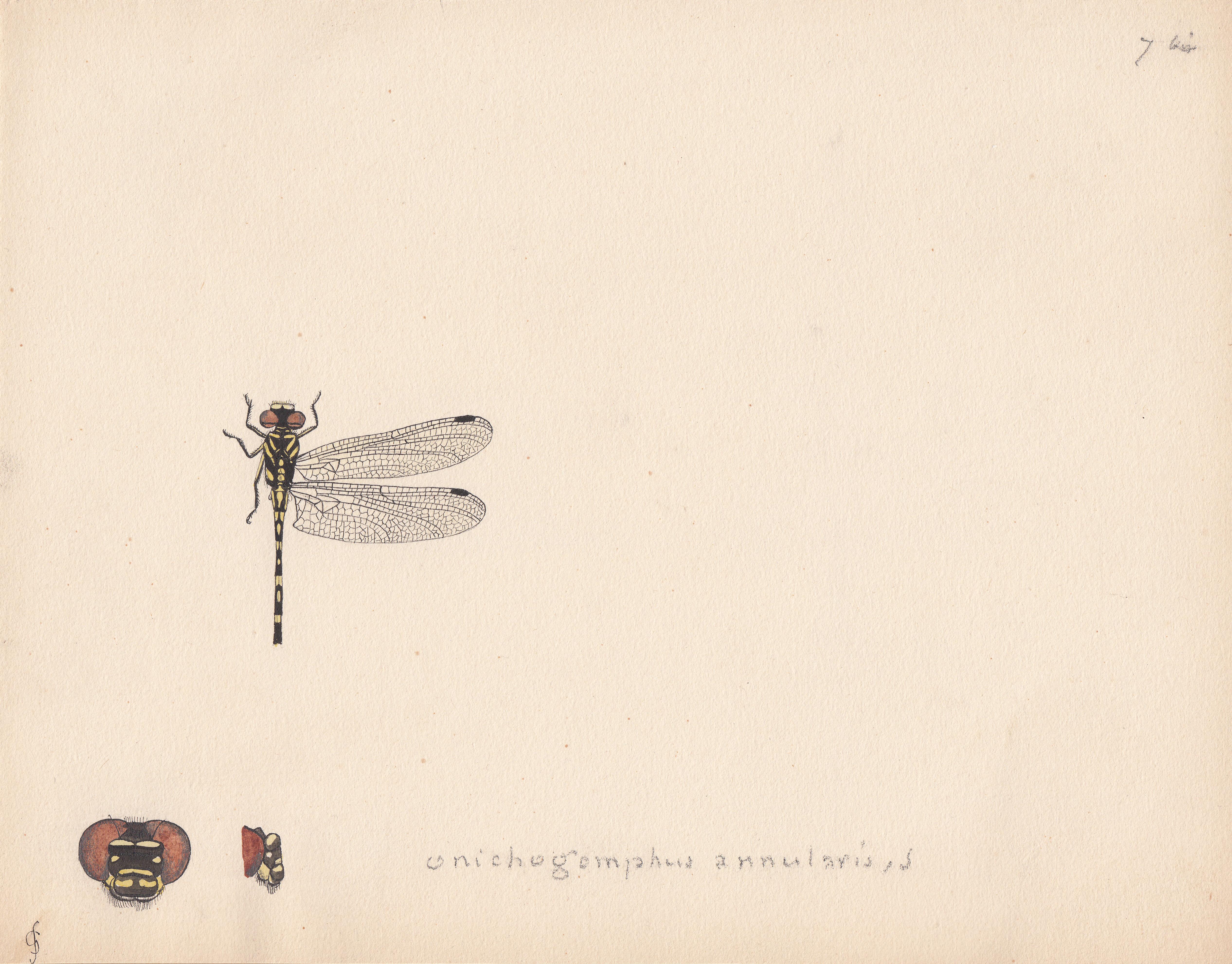 Onichogomphus annularis.jpg