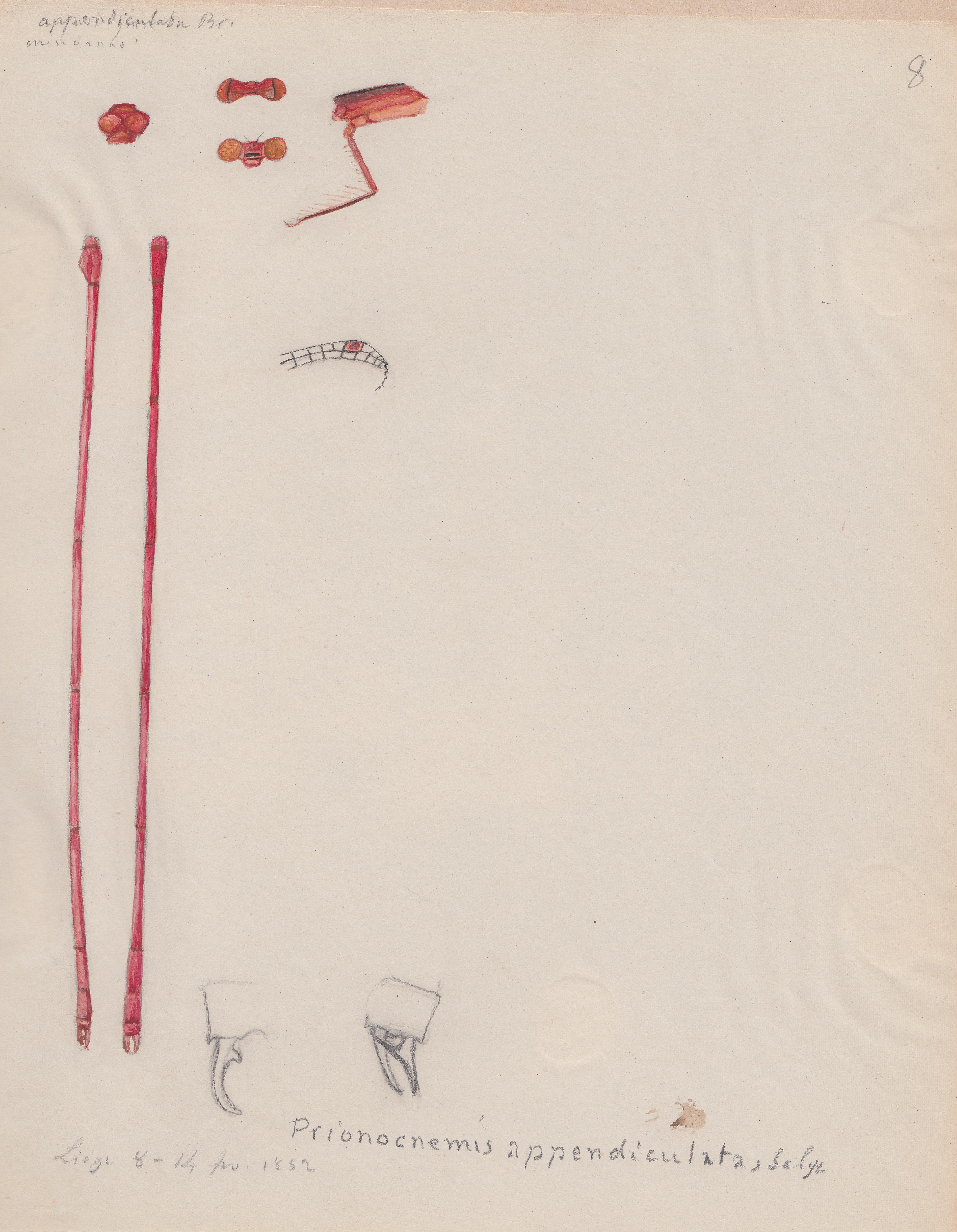 Prionocnemis appendiculata.jpg