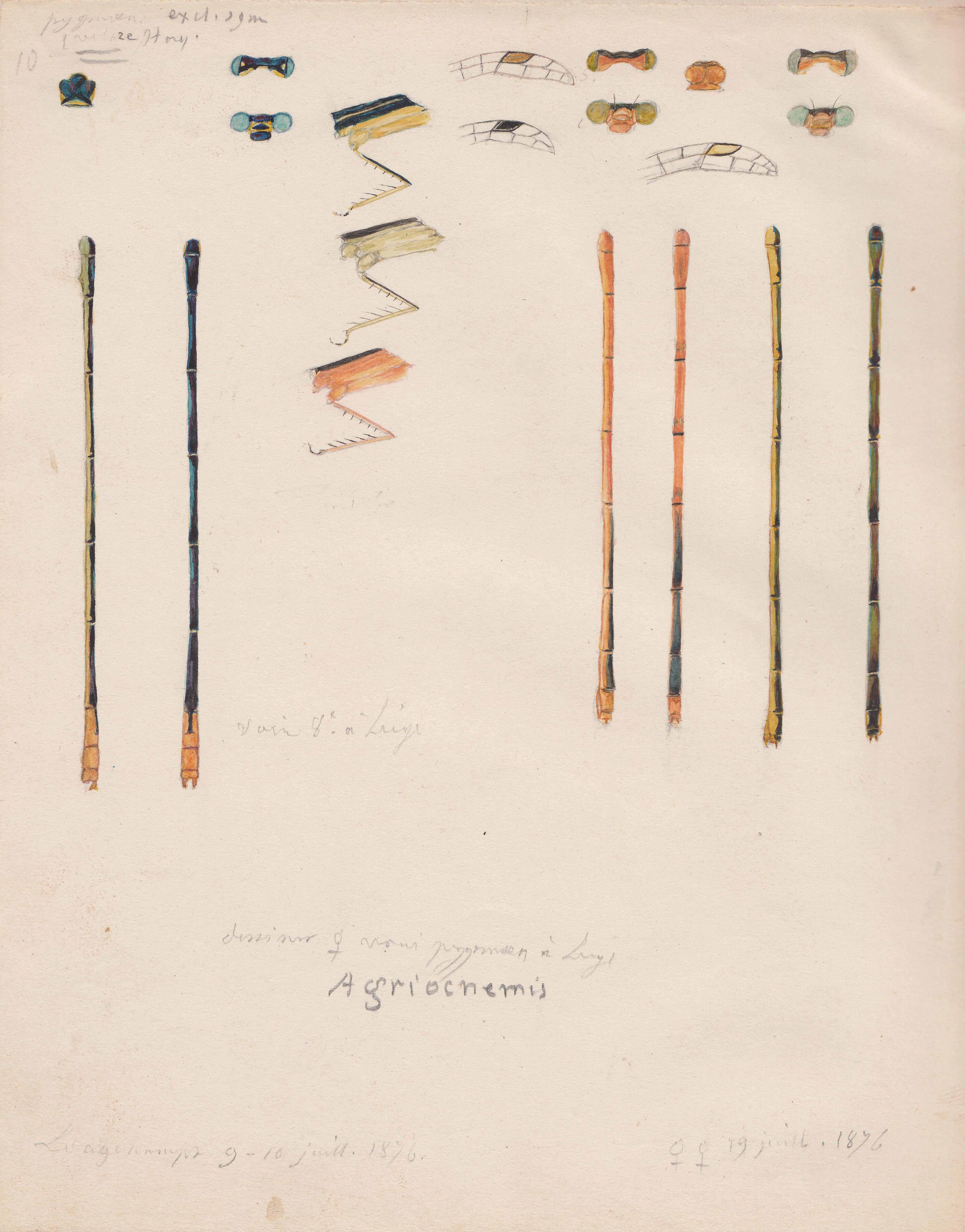 Agriocnemis pygmea.jpg