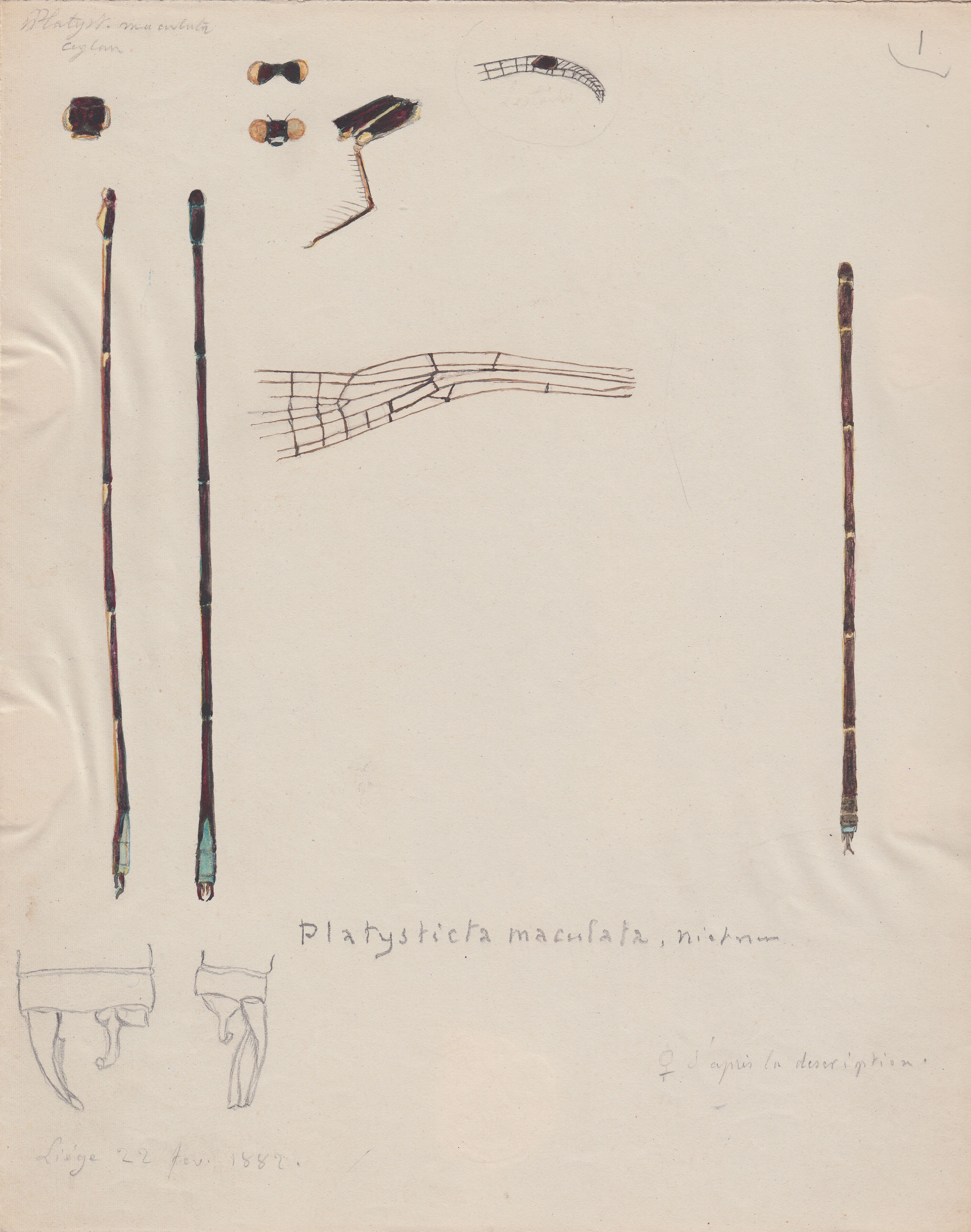 Platysticta maculata.jpg