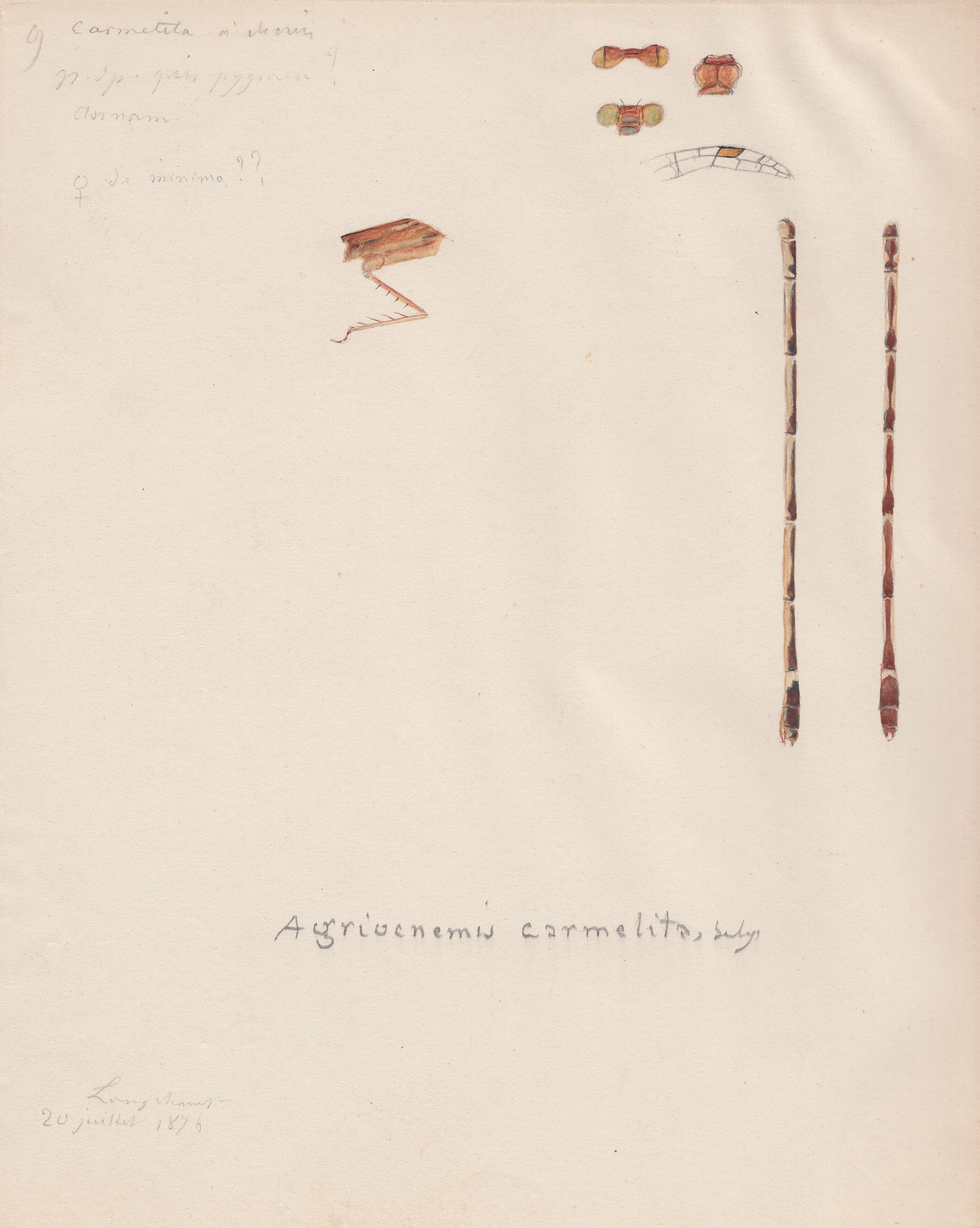 Agriocnemis carmelita.jpg