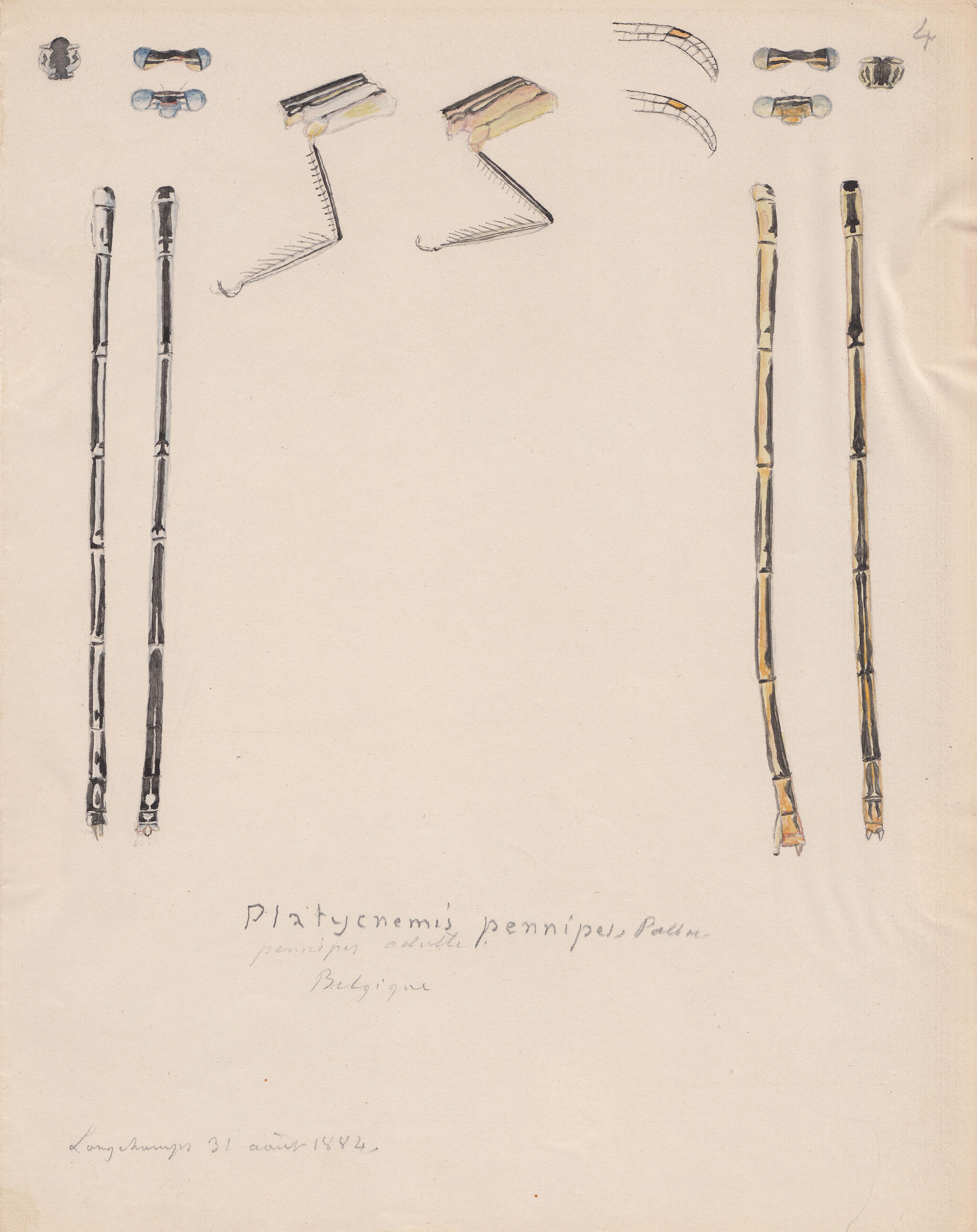 Platycnemis pennipes.jpg