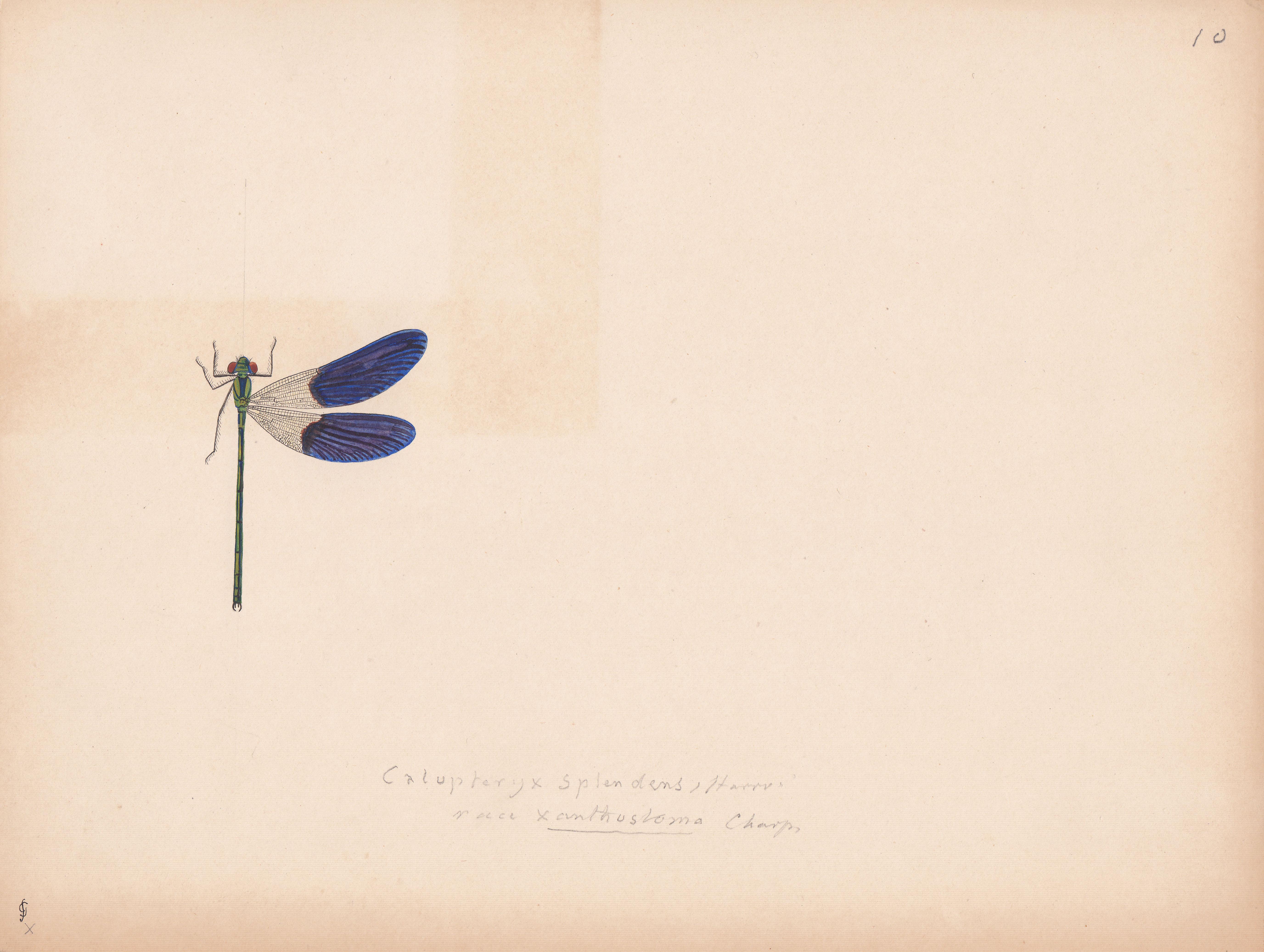 Calopteryx splendens variety xanthostoma.jpg