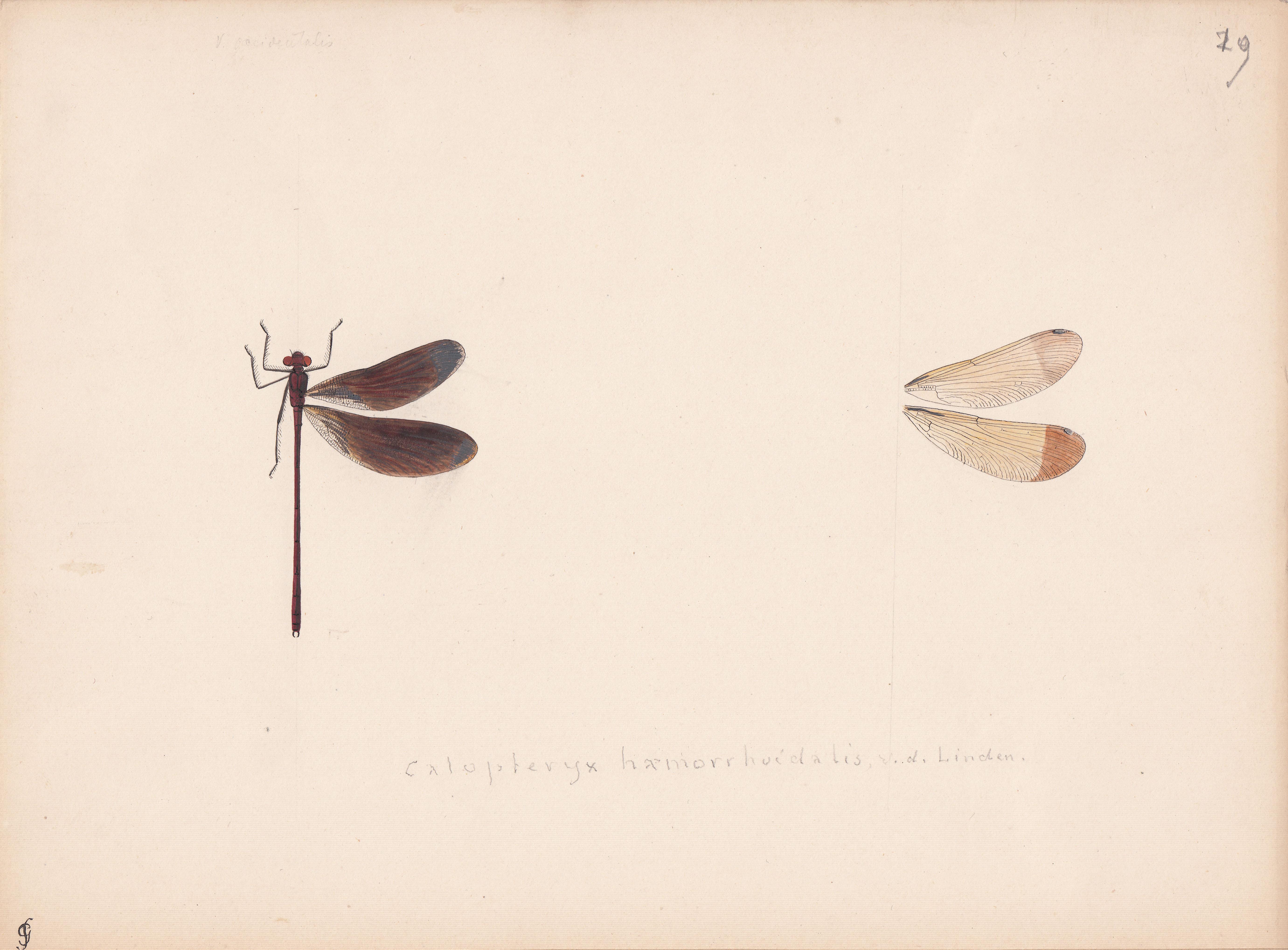 Calopteryx haemorrhoidalis.jpg