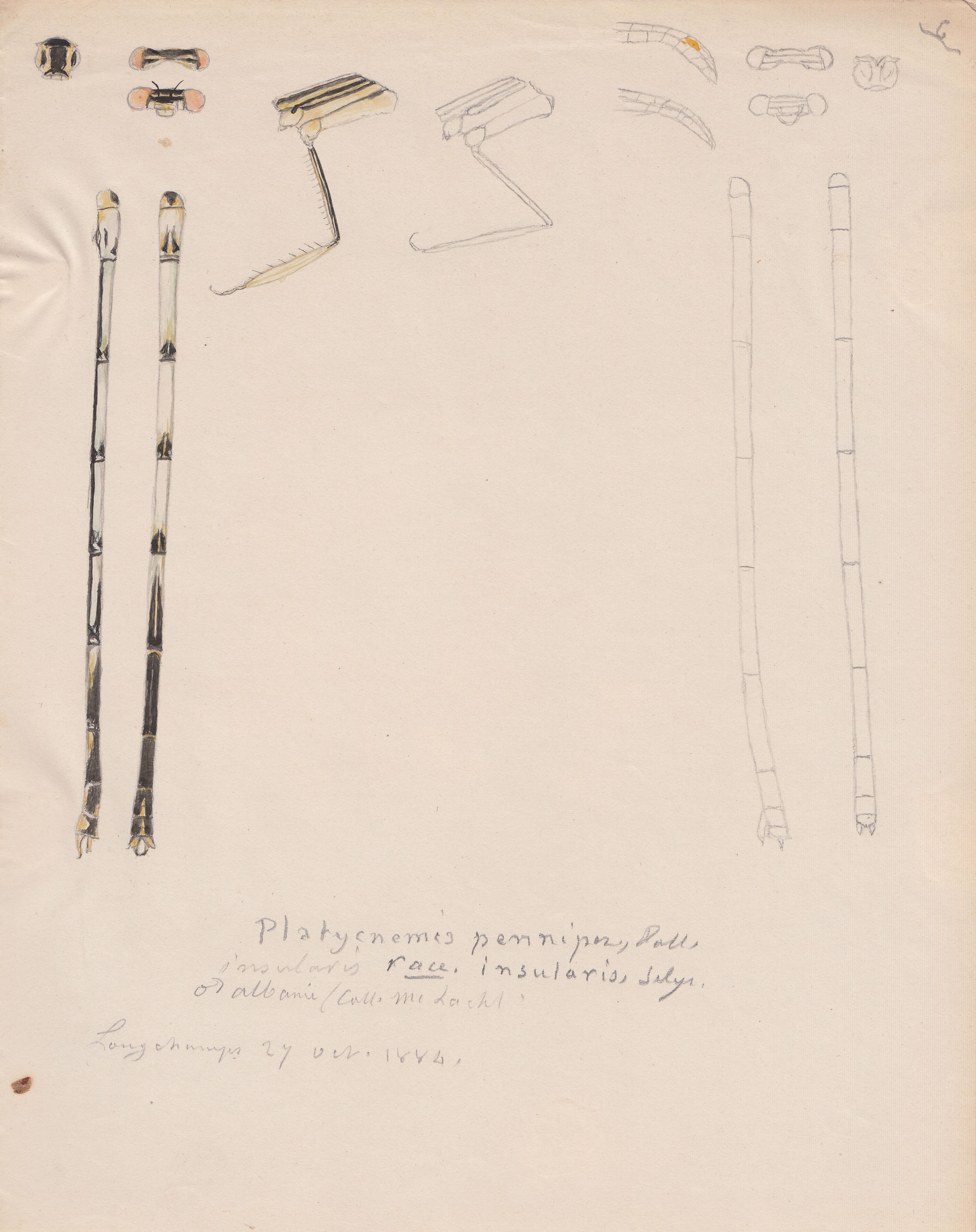 Platycnemis pennipes variety insularis.jpg