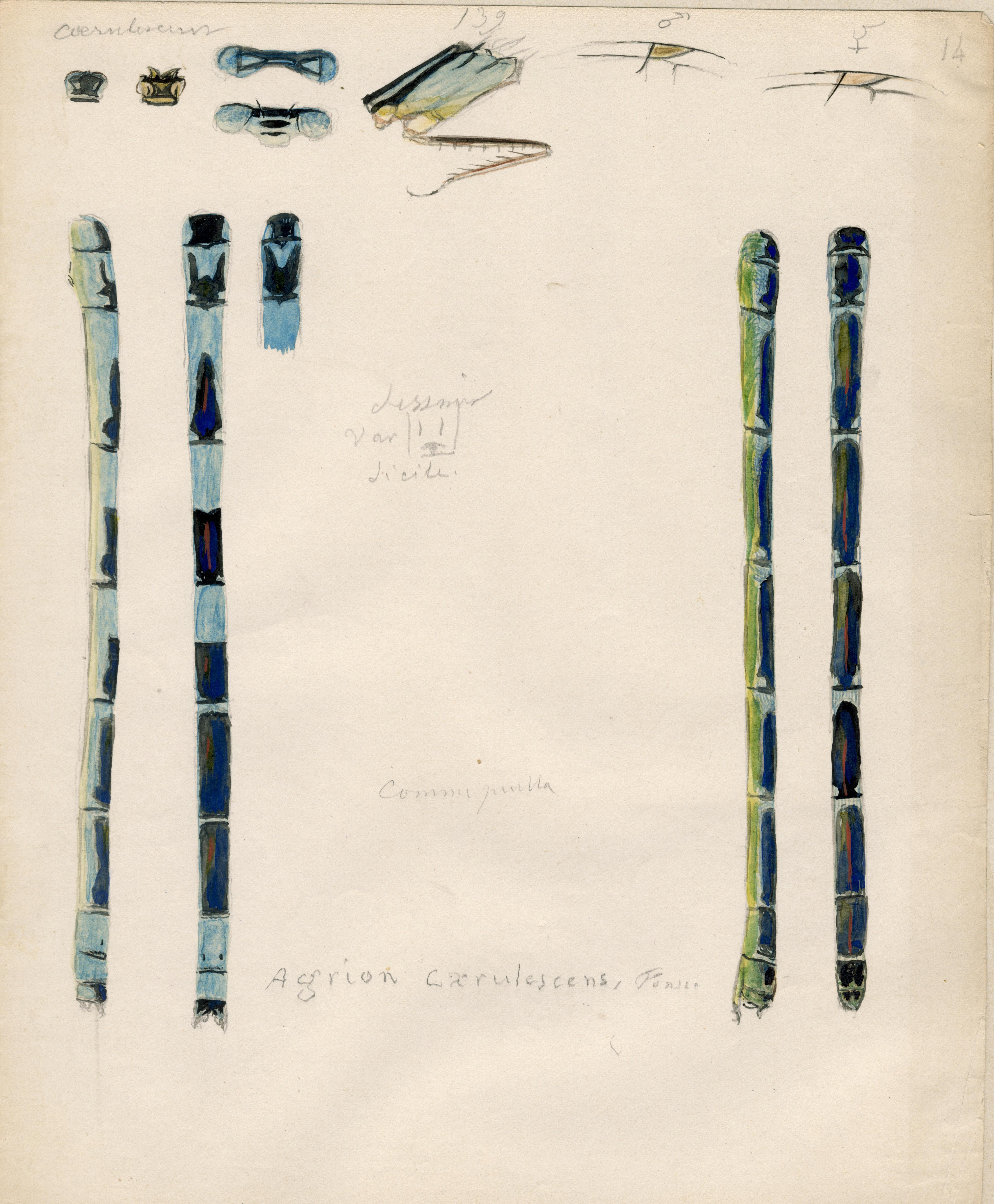 Agrion caerulescens.jpg