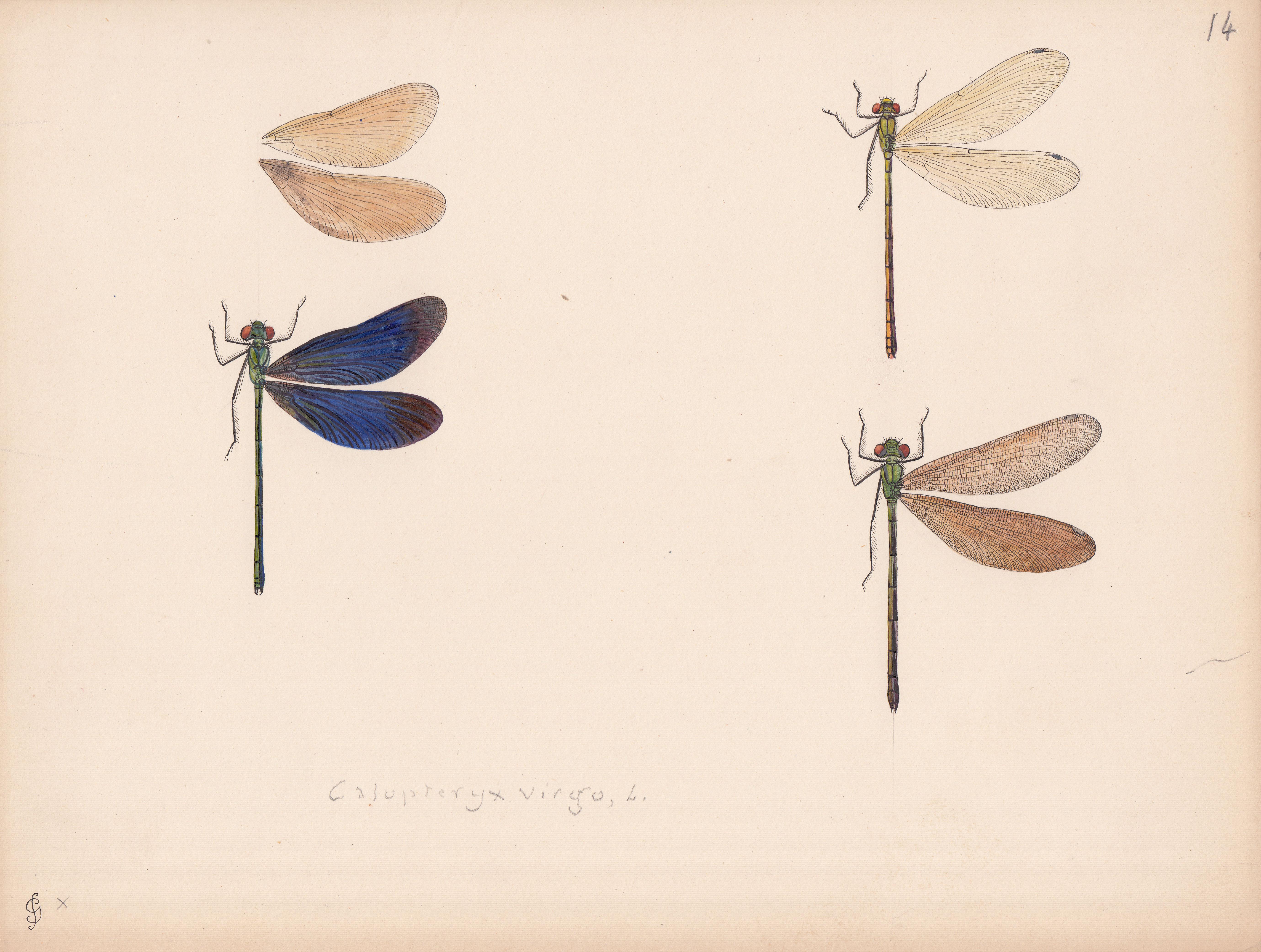 Calopteryx virgo.jpg
