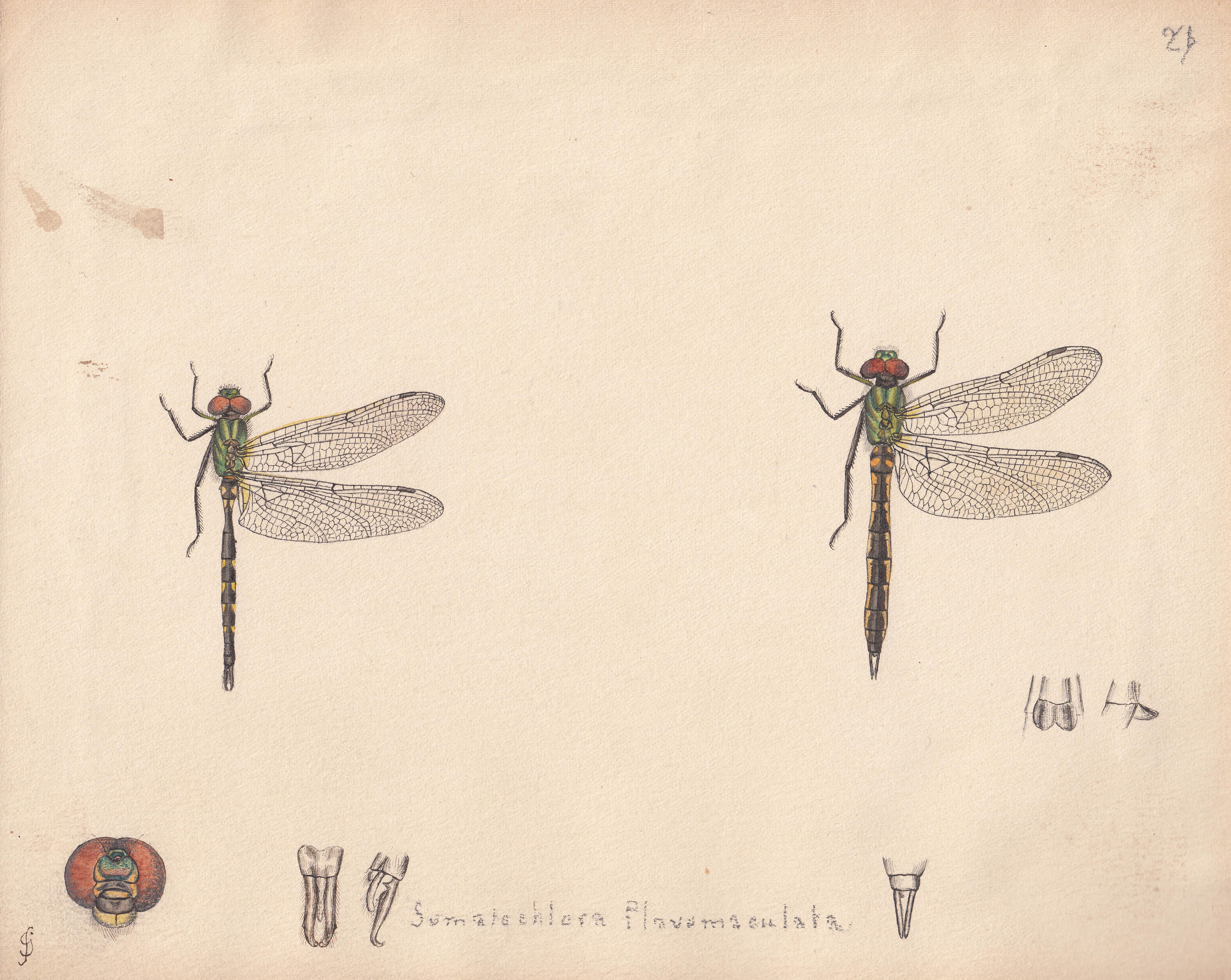 Somatochlora flavomaculata.jpg