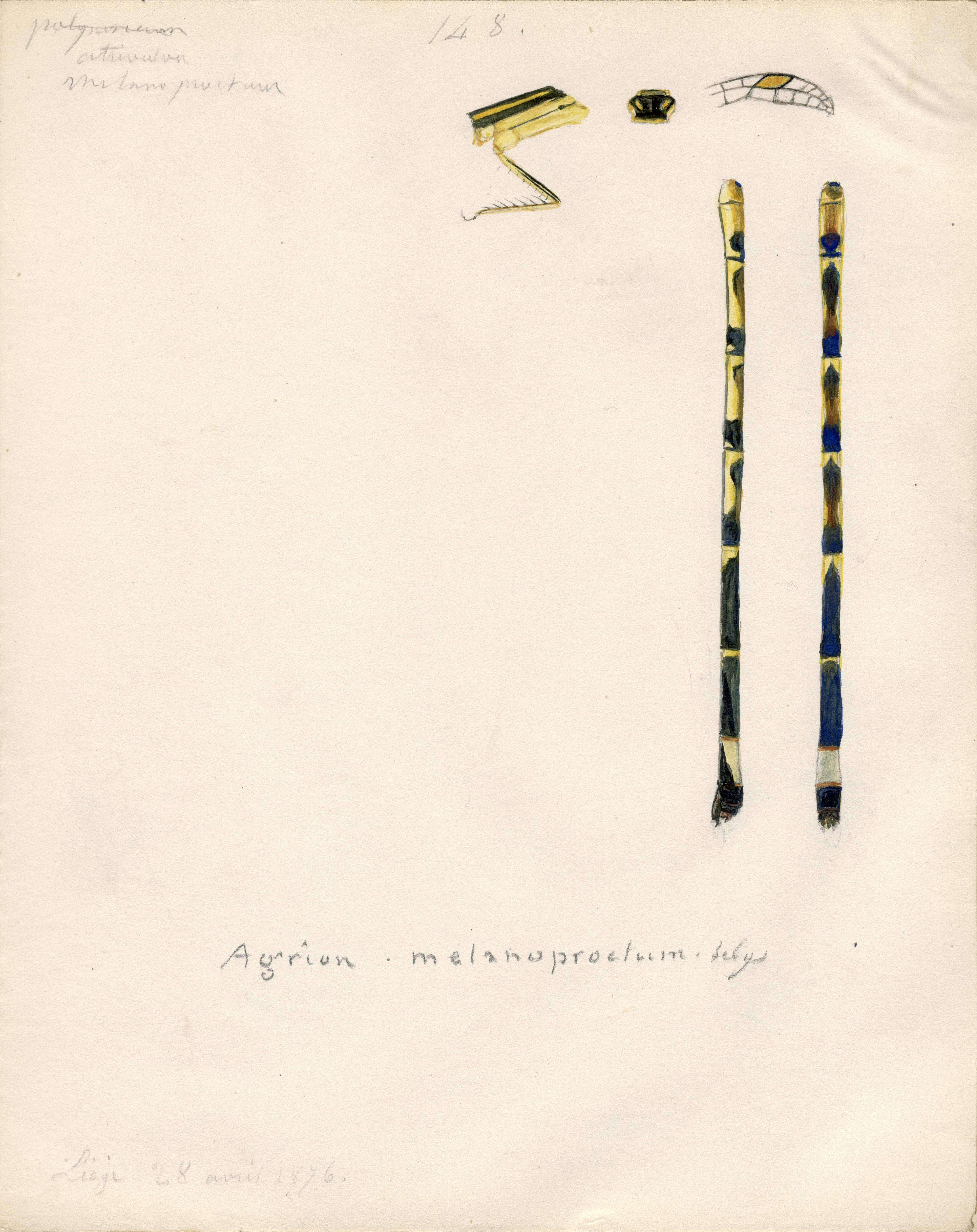 Agrion melanoproctum.jpg