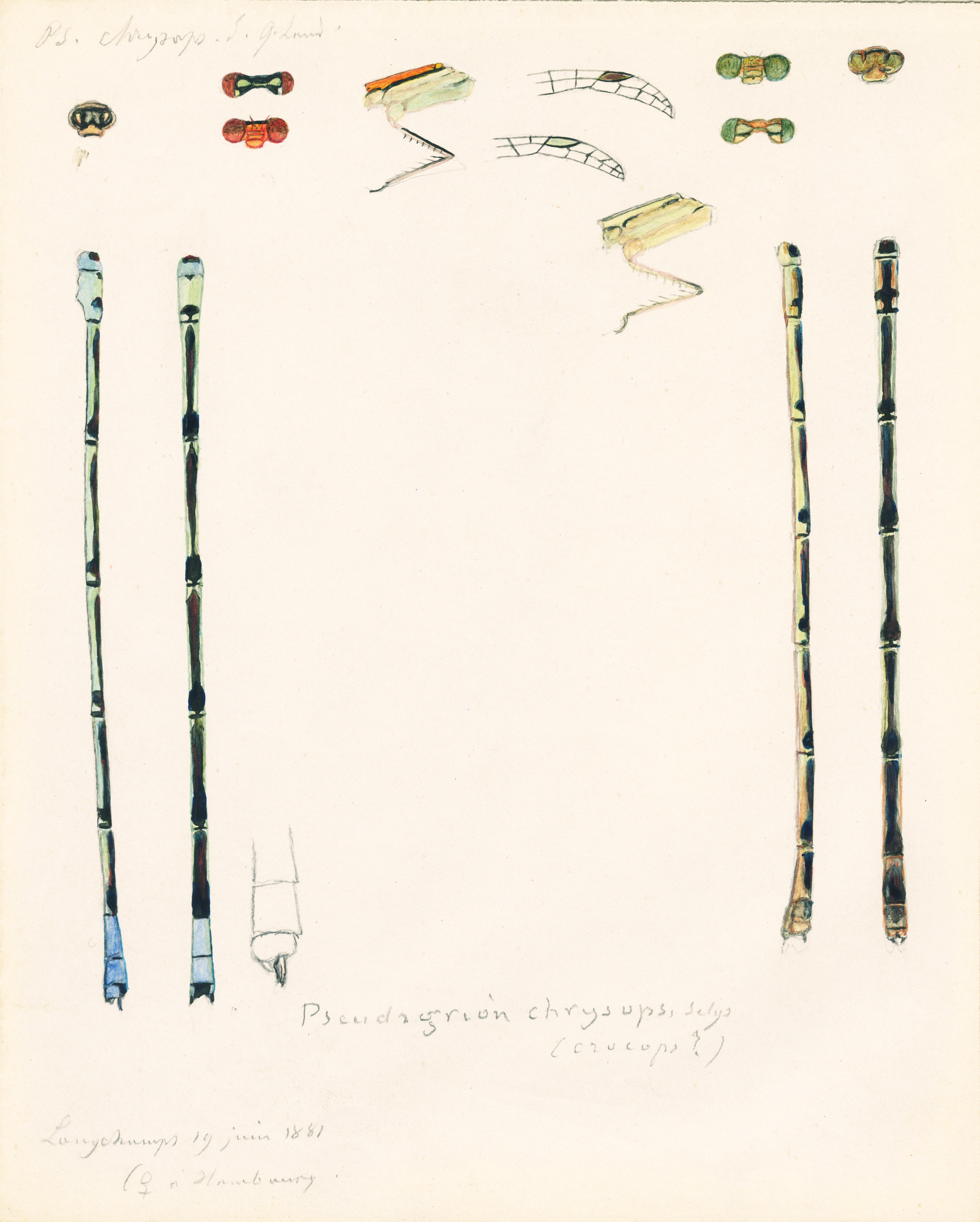 Pseudagrion chrysops.jpg