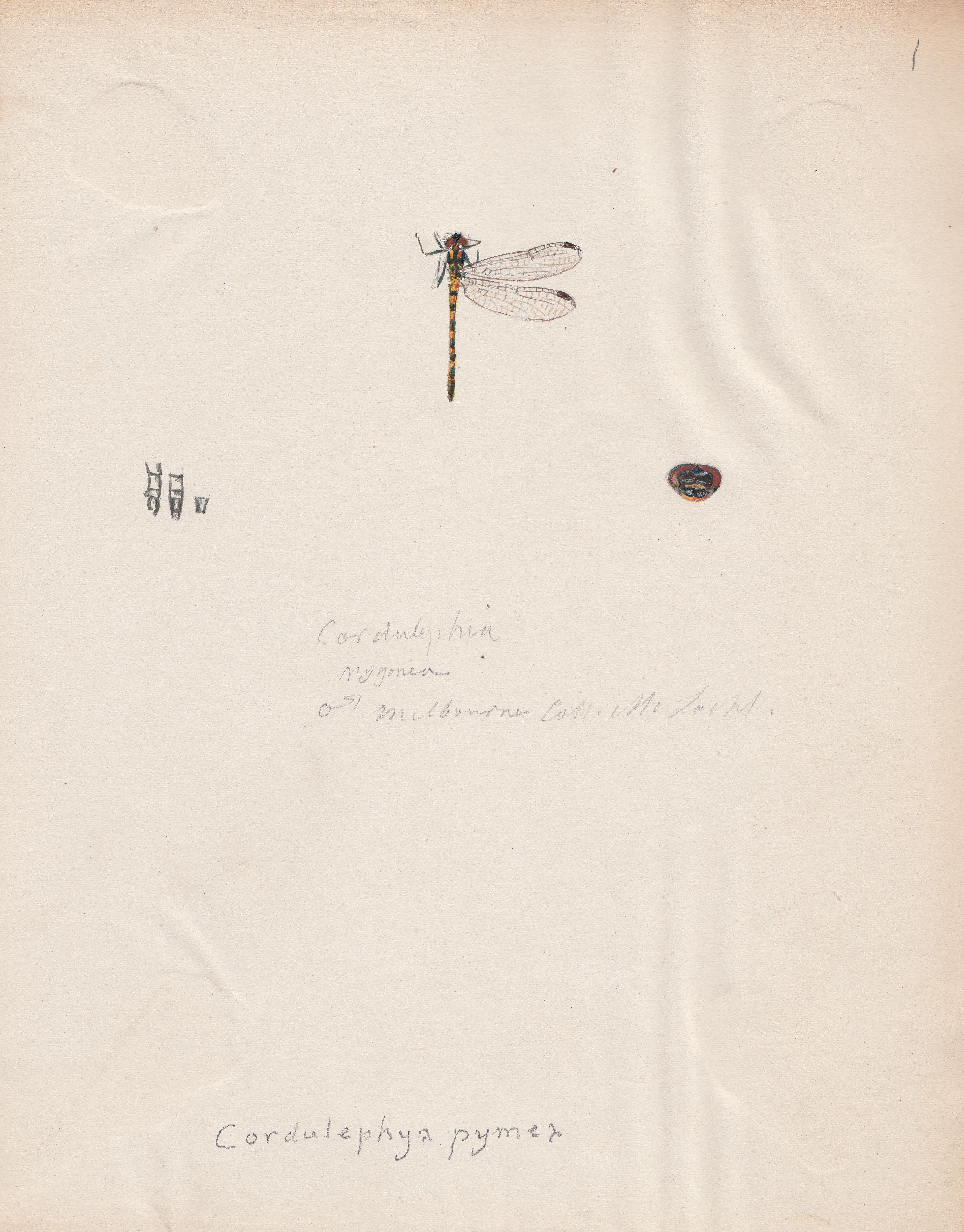 Cordulephya pygmea.jpg