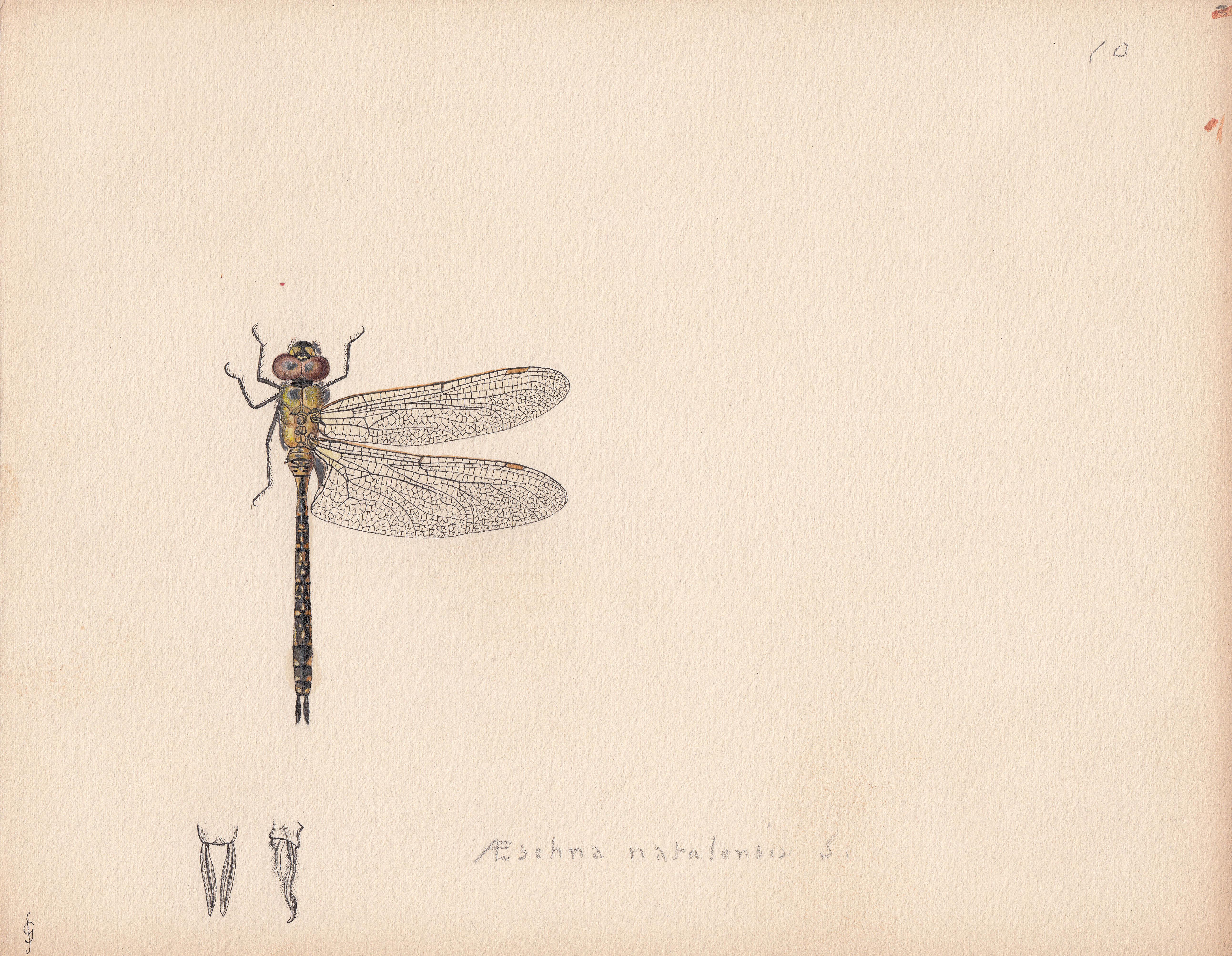 Aeschna natalensis.jpg