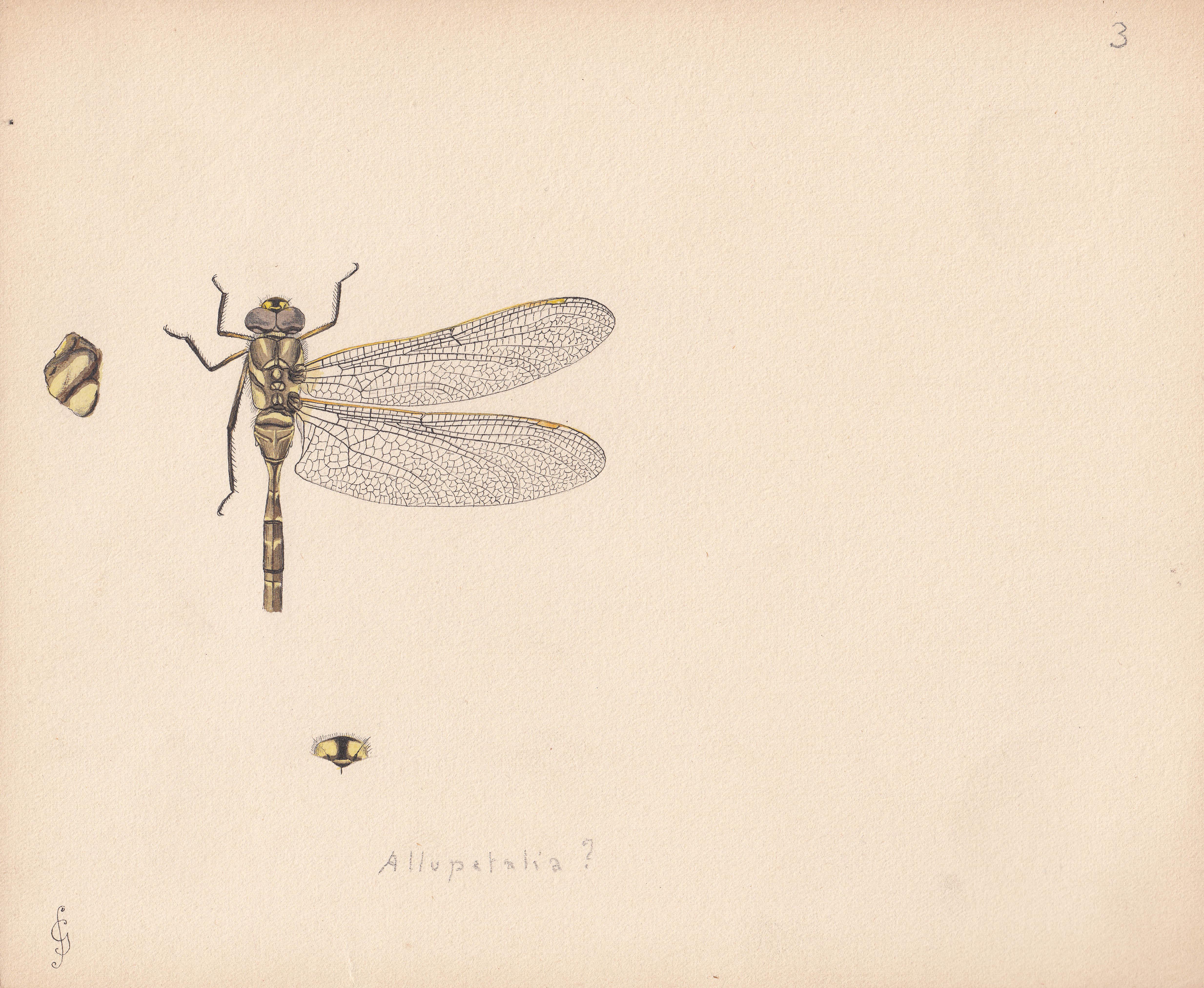Allopetalia SP.jpg