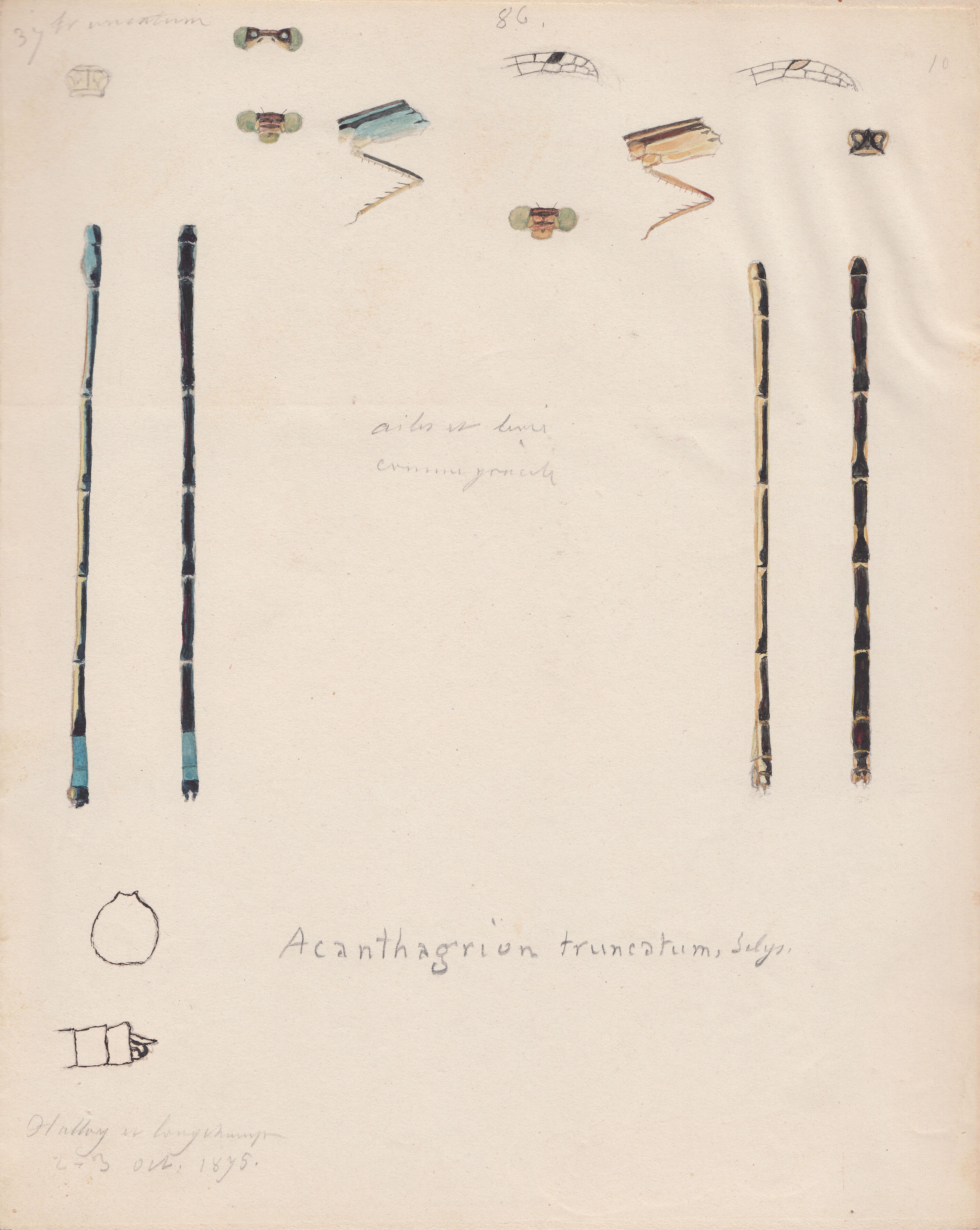 Acanthagrion truncatum.jpg