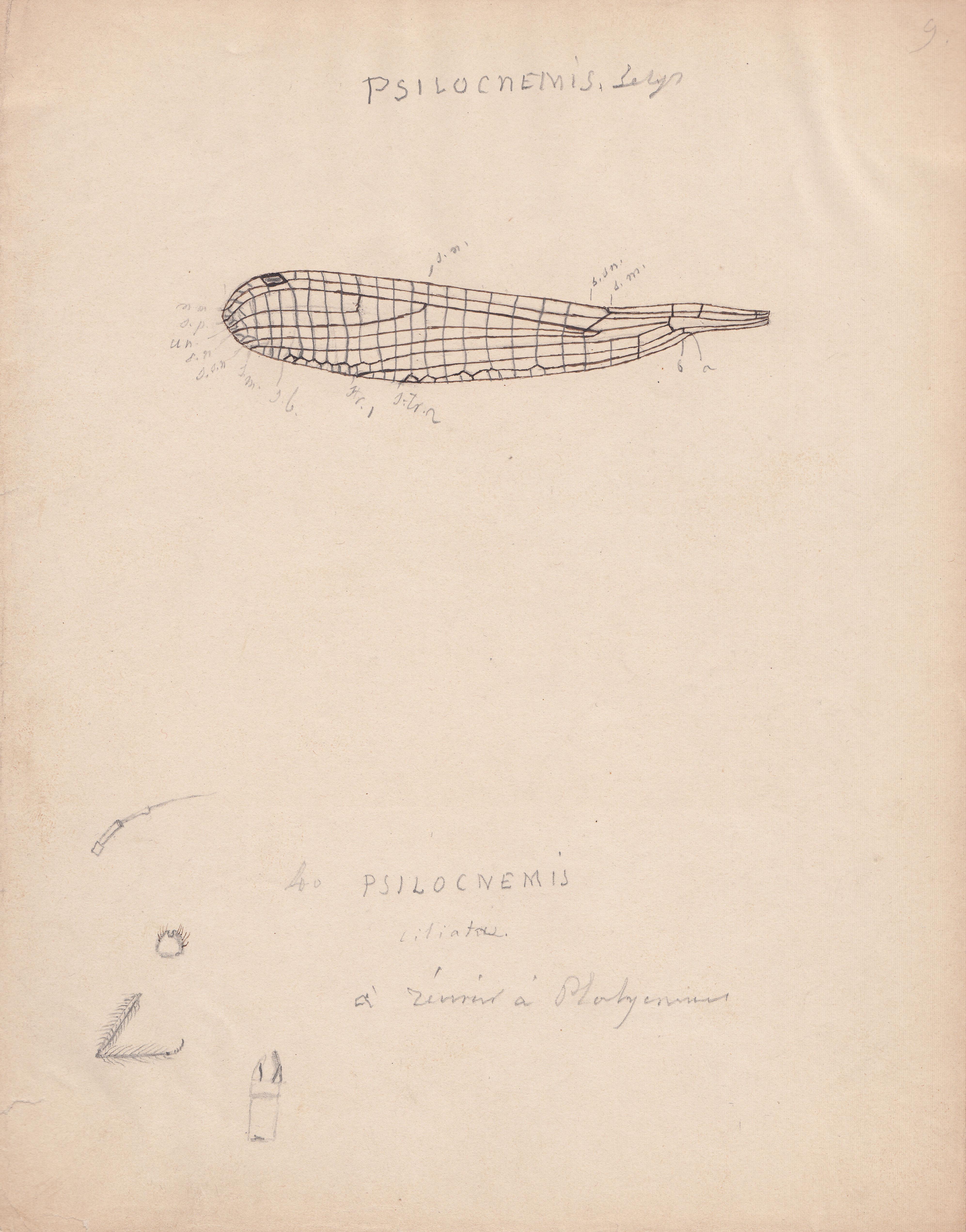 Psilocnemis ciliata.jpg