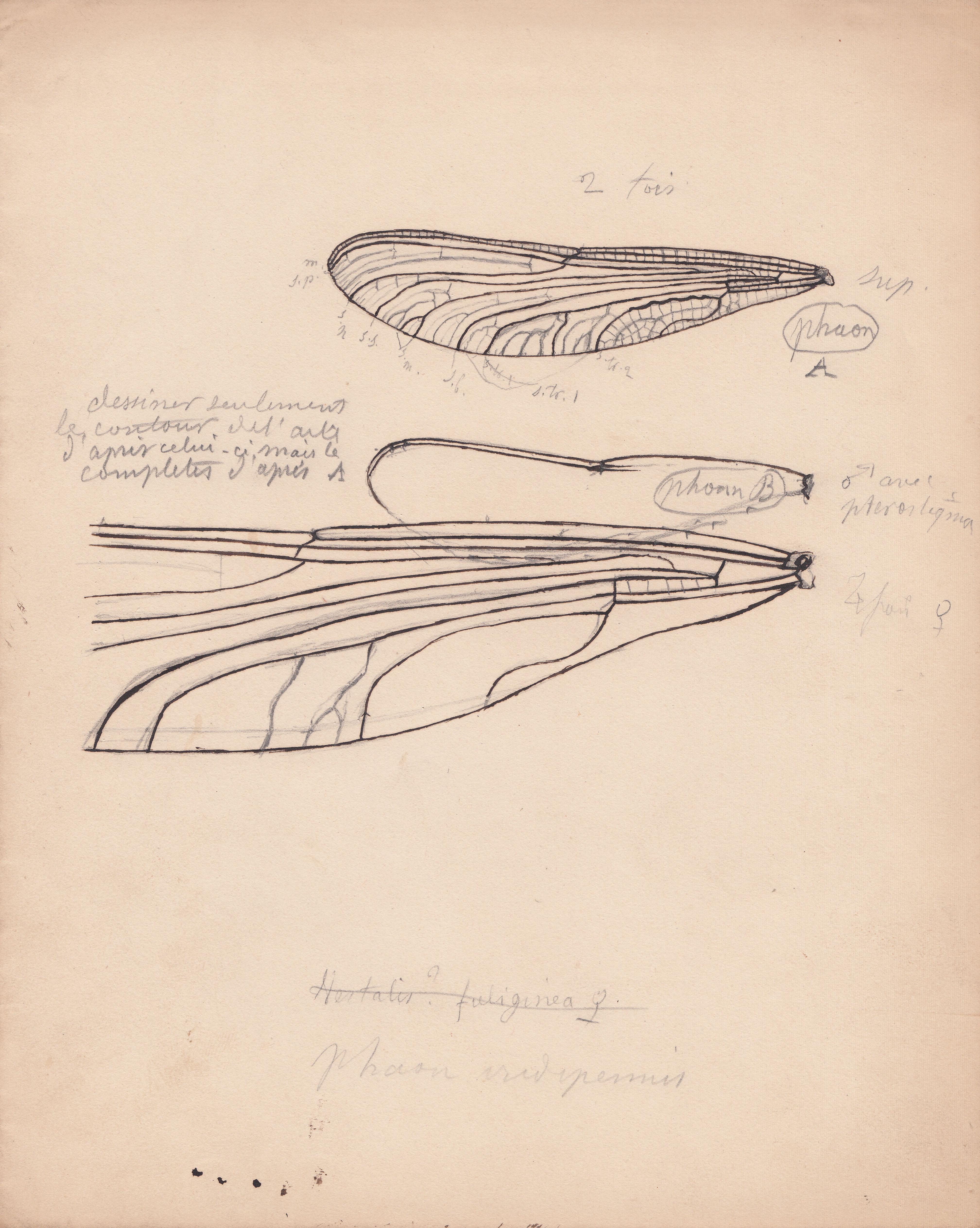 Phaon iridipennis.jpg