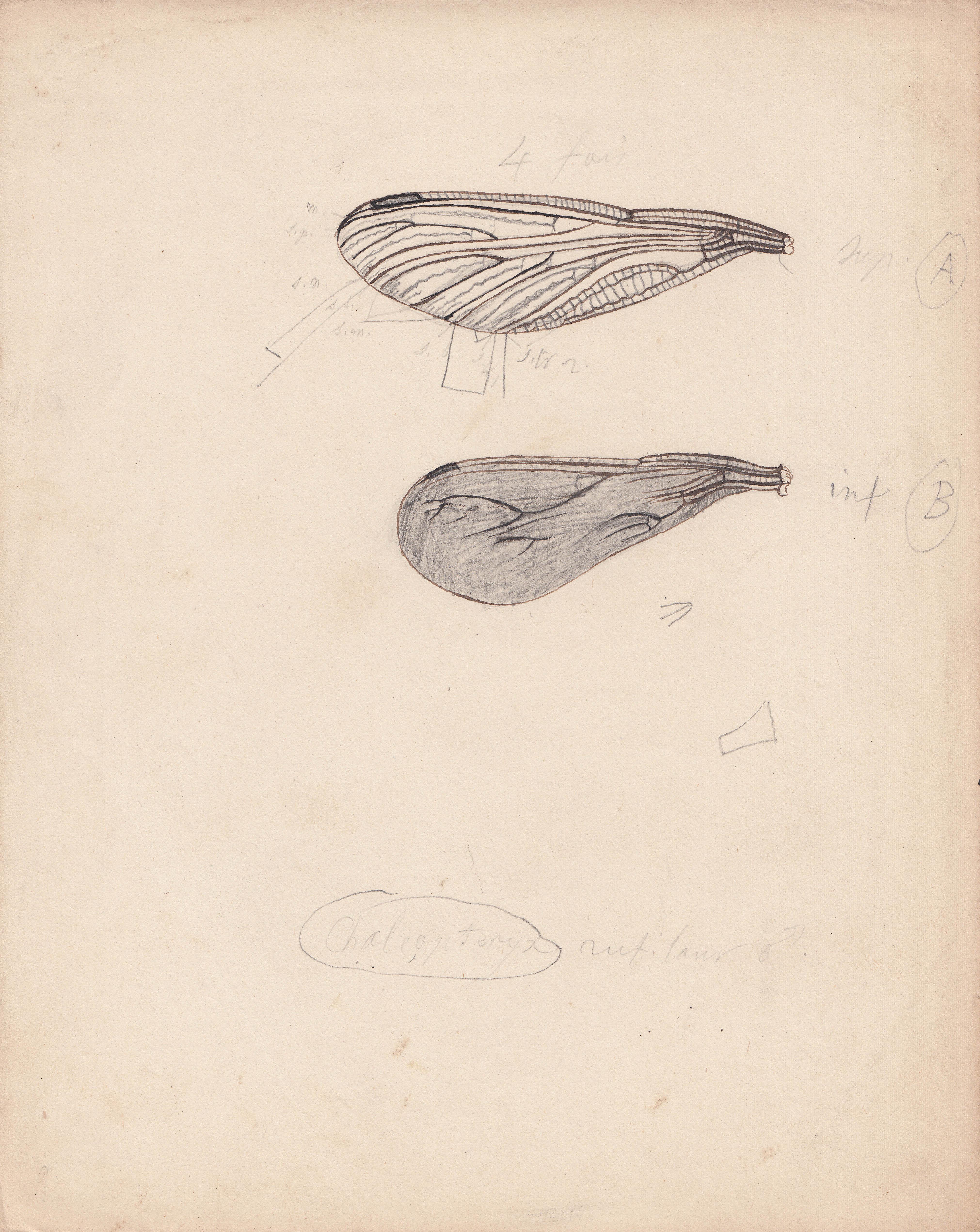 Chalcopteryx rutilans.jpg
