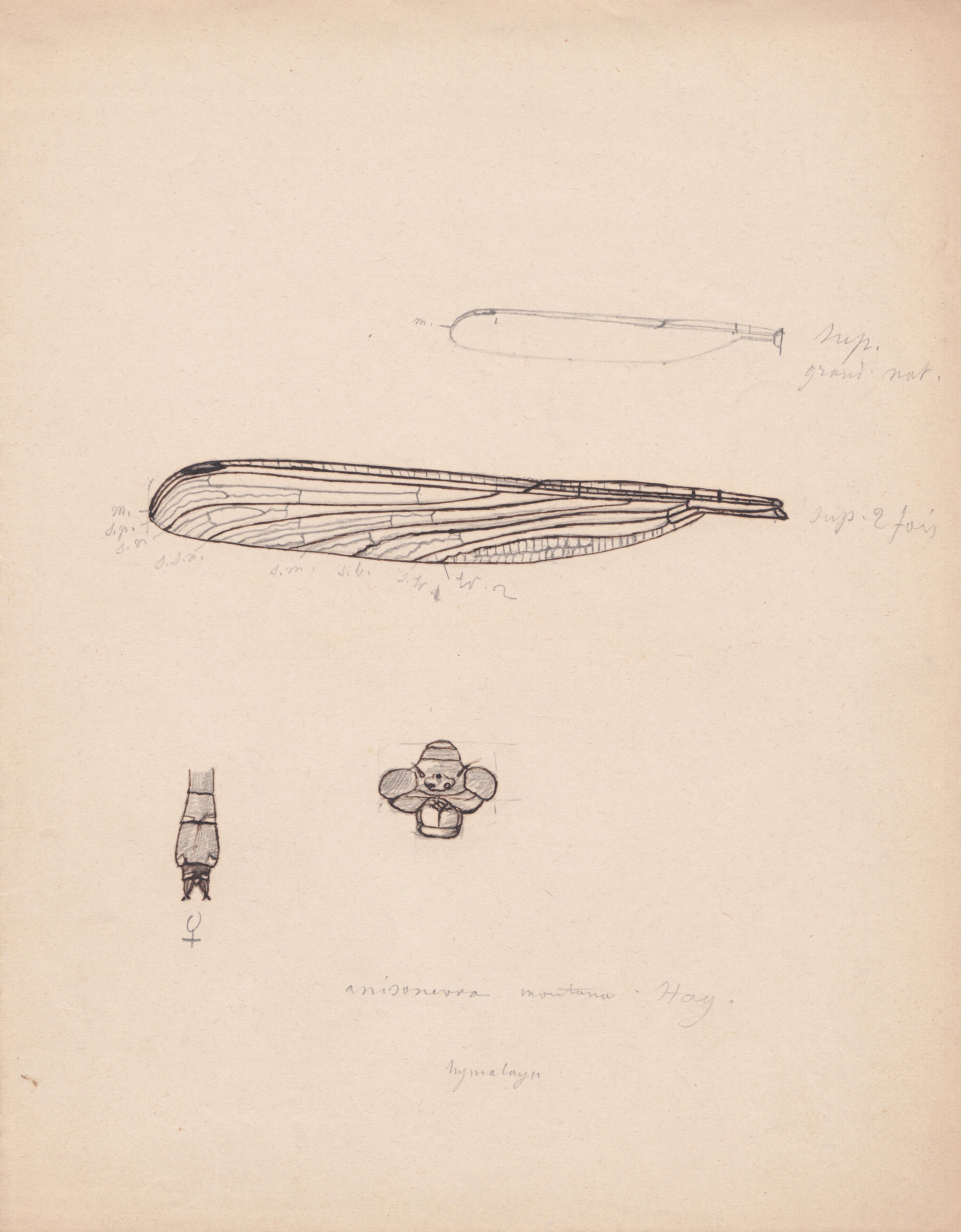 Anisoneura montana.jpg