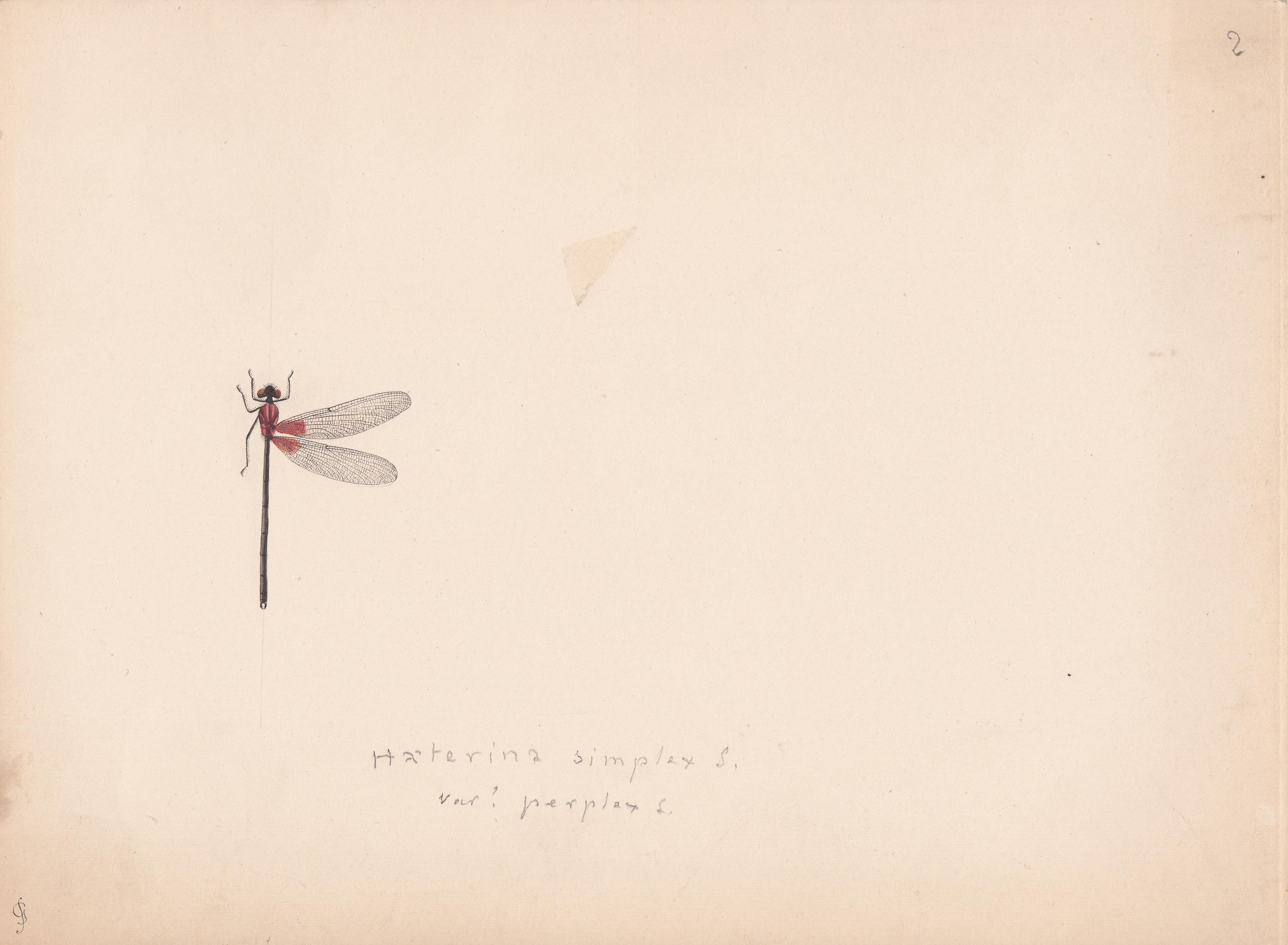 Haeterina simplex variety perplex.jpg