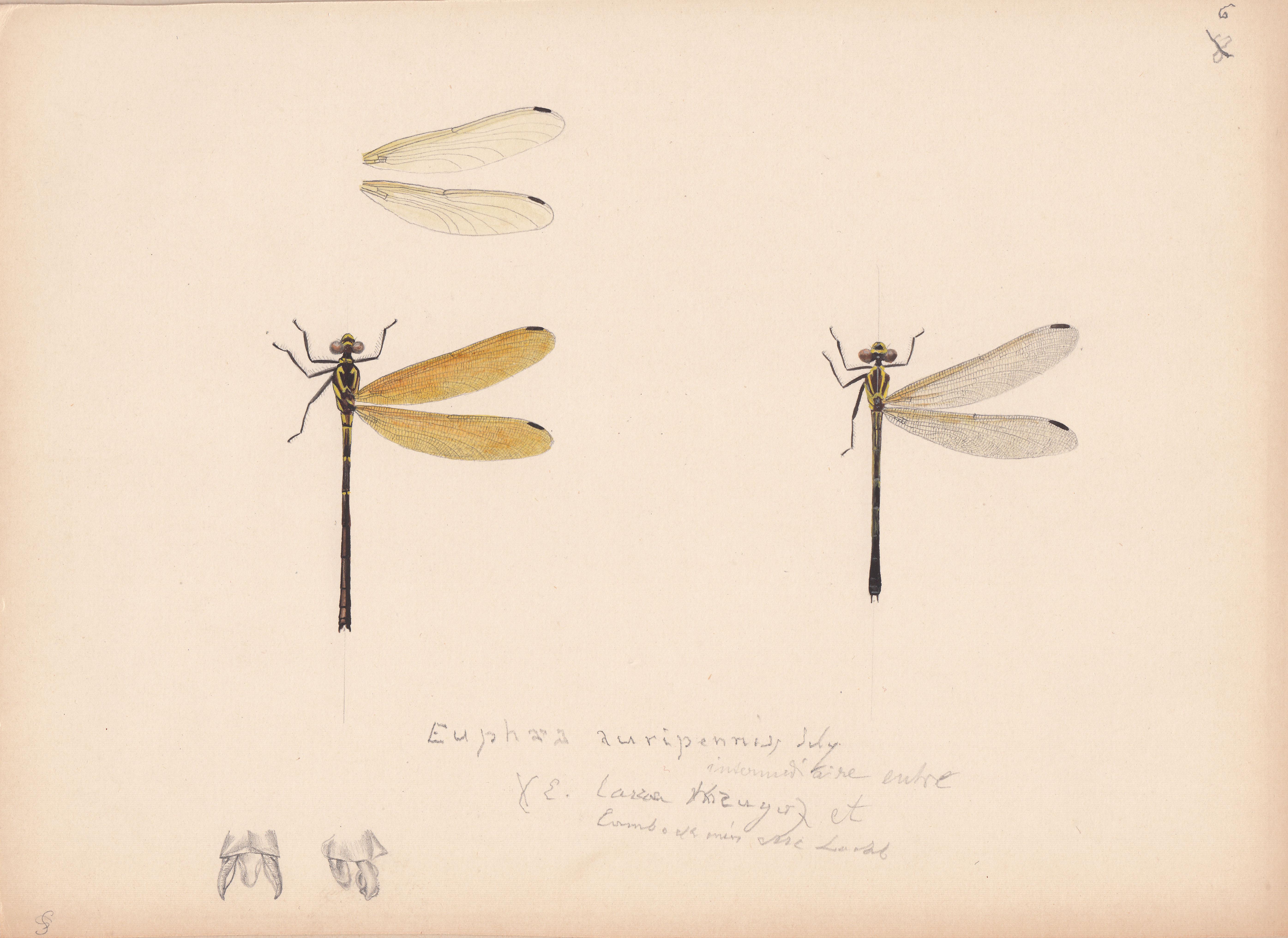 Euphaea auripennis.jpg