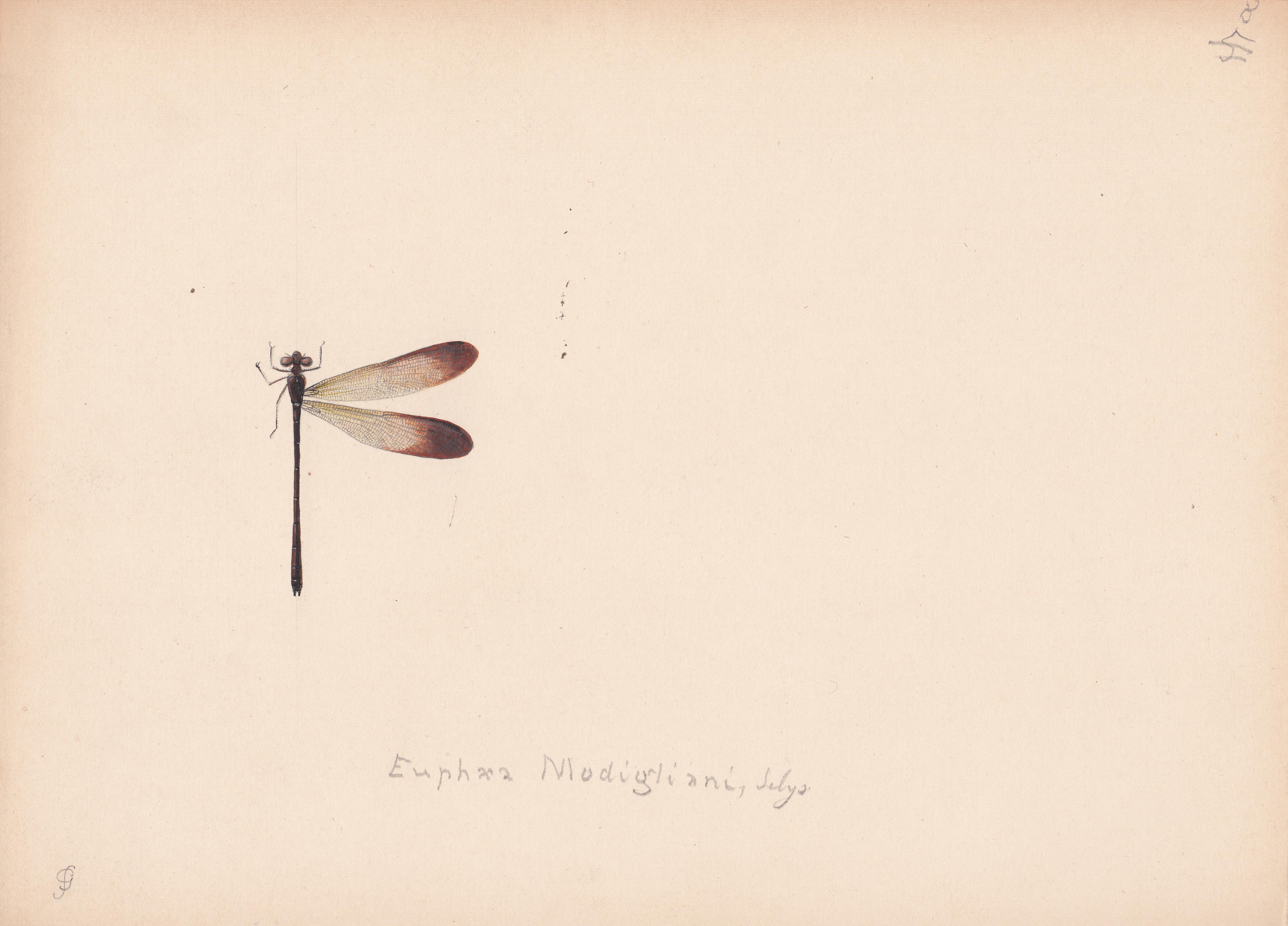 Euphaea modigliani.jpg