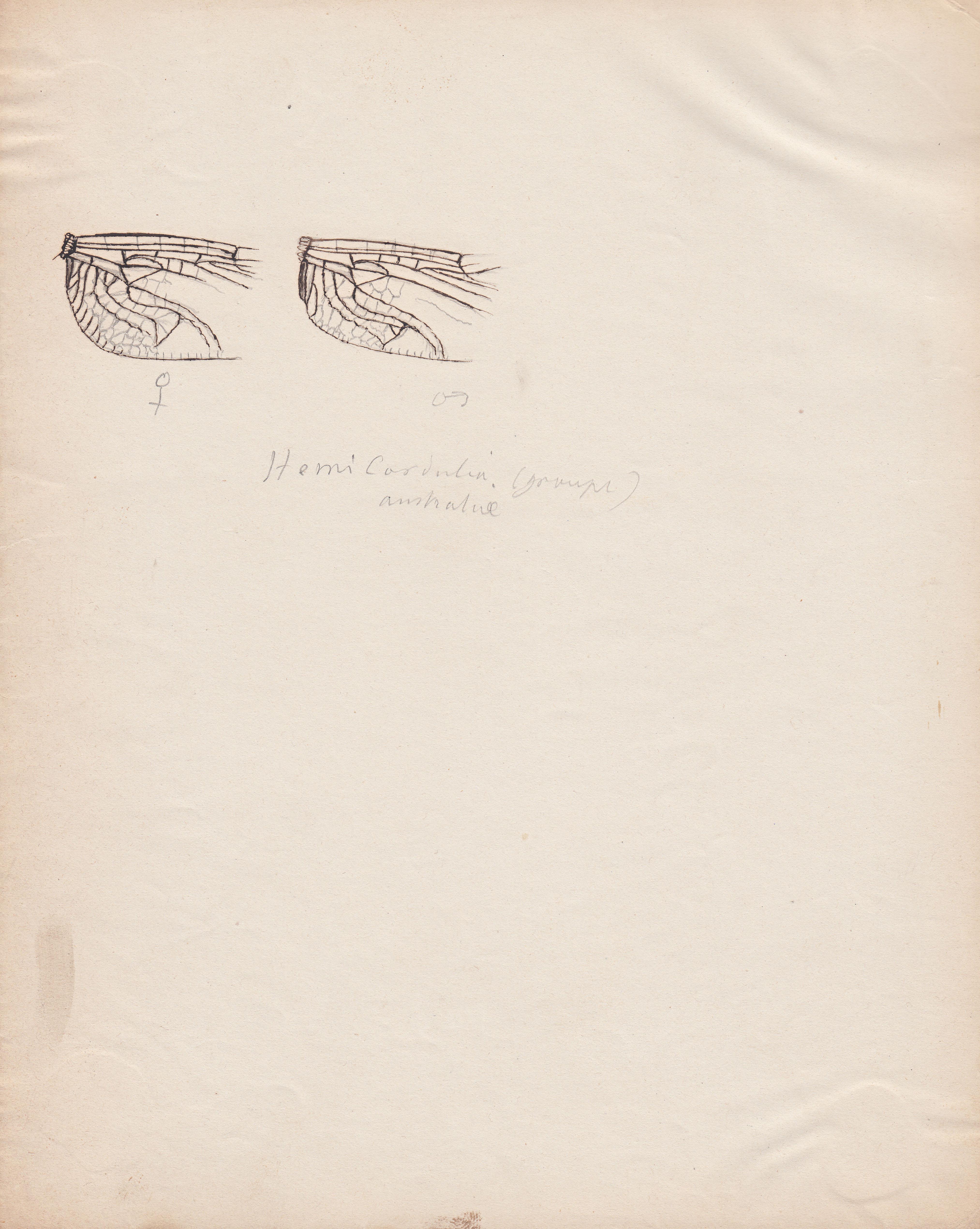 Hemicordulia australiae.jpg