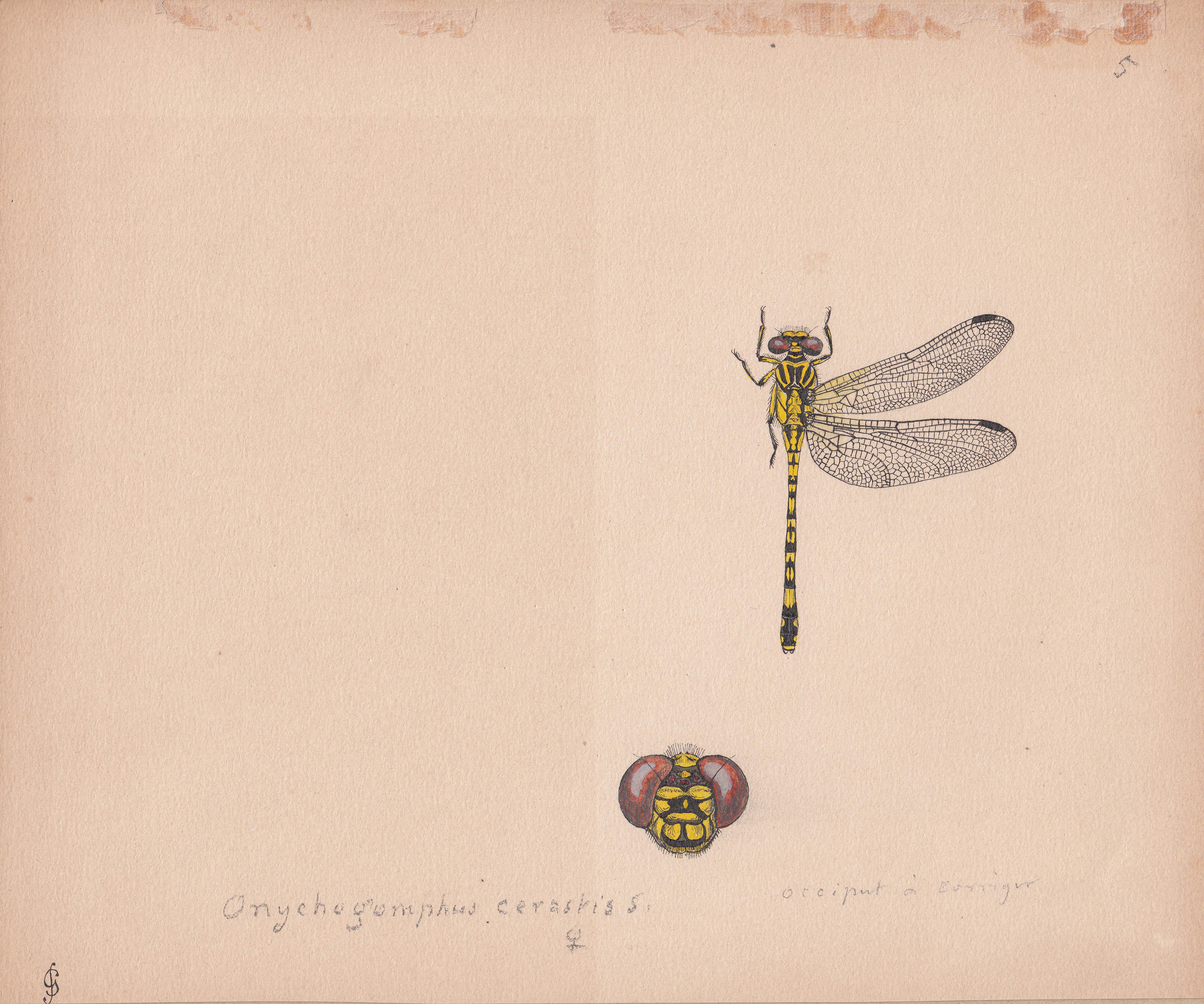 Onychogomphus cerastis.jpg