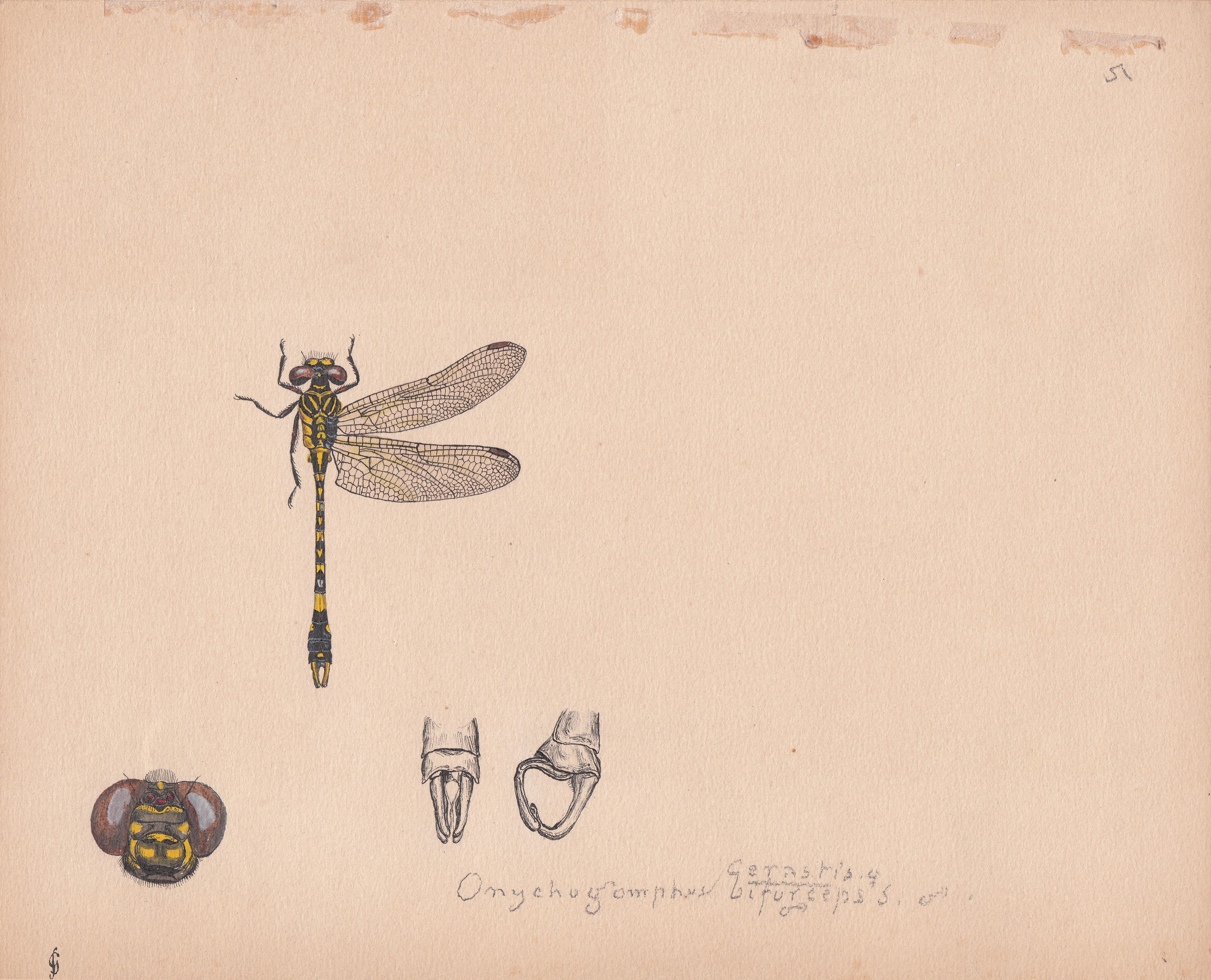 Onychogomphus cerastis biforceps.jpg