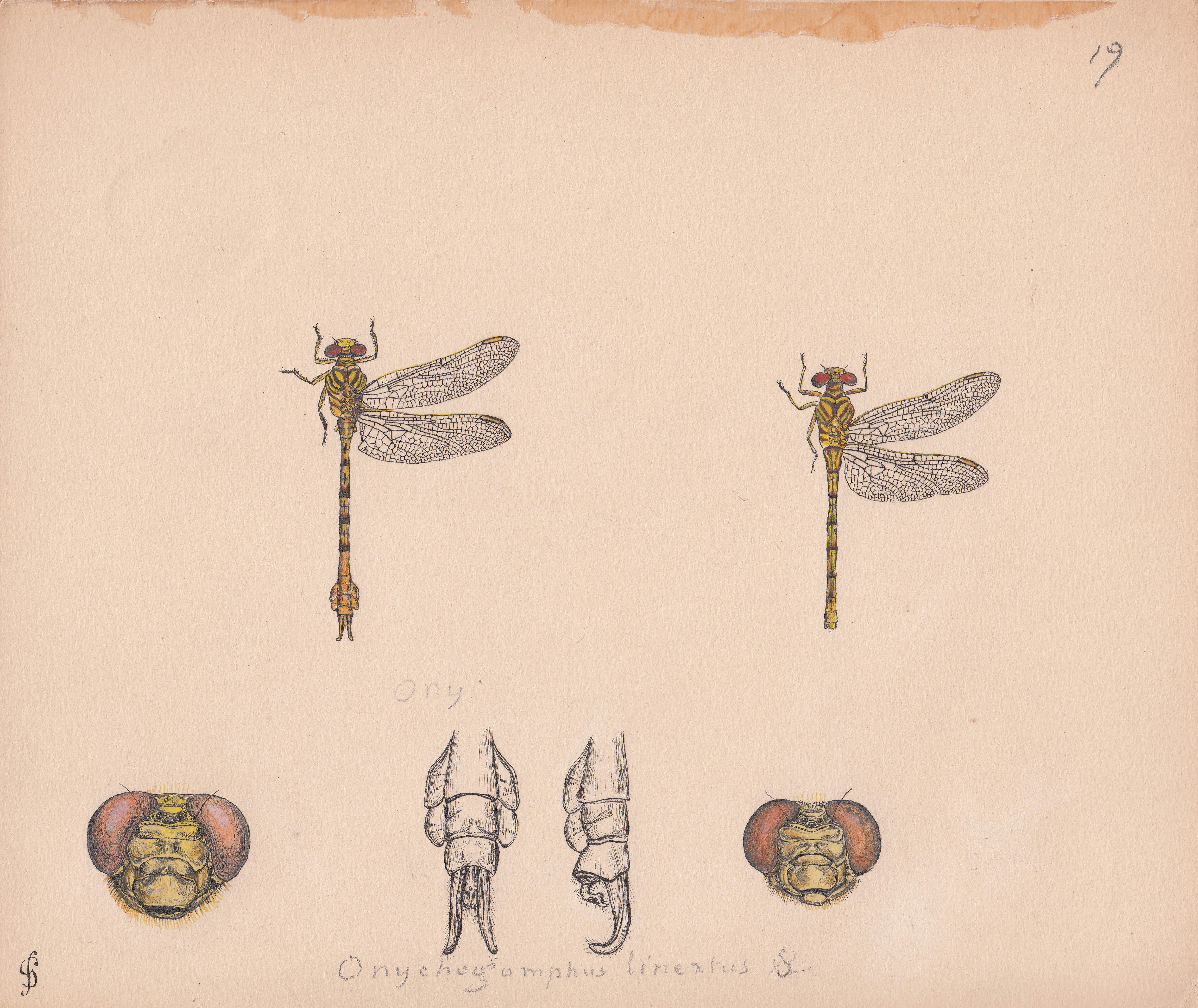 Onychogomphus lineatus.jpg