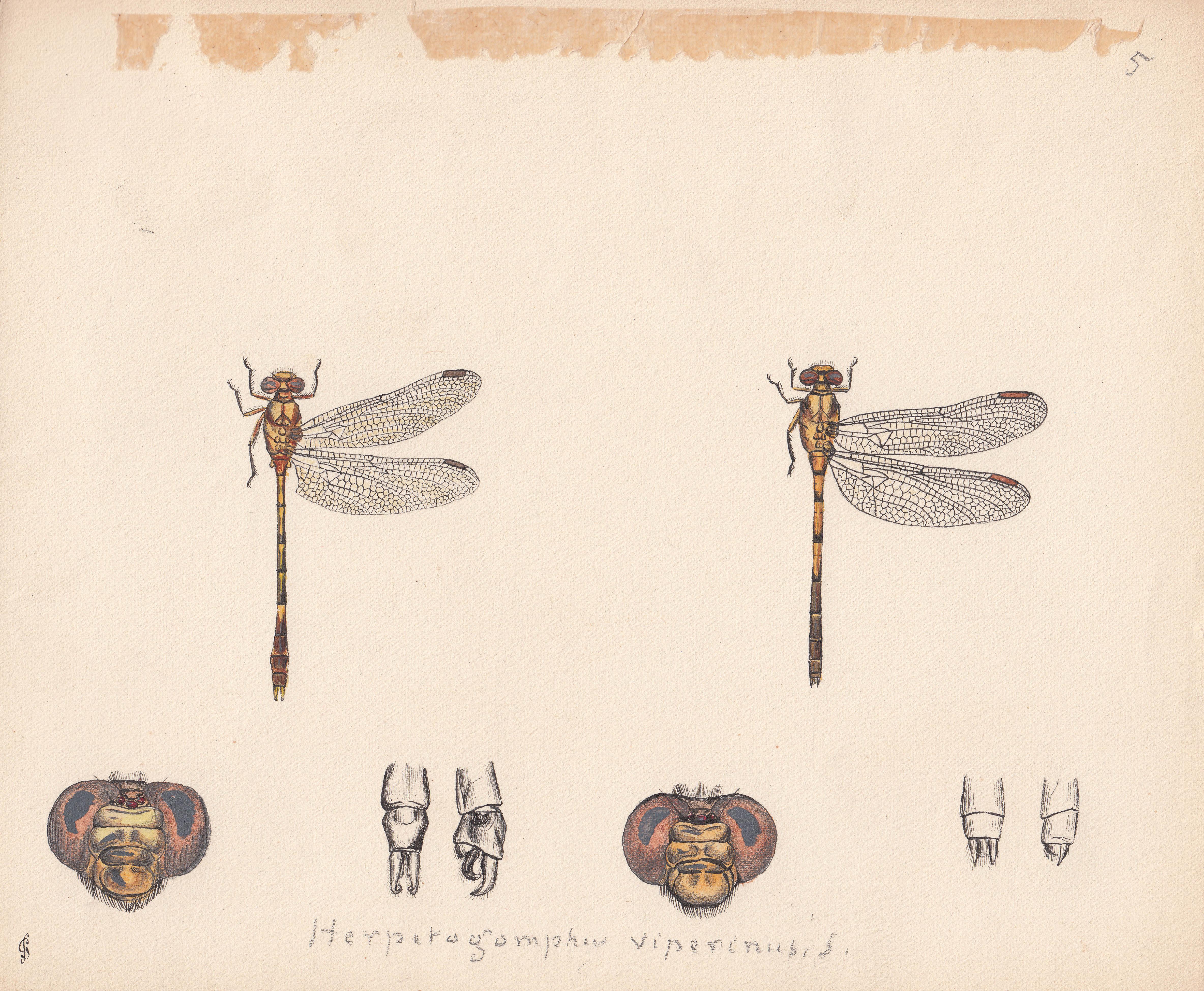 Herpetogomphus viperinus.jpg