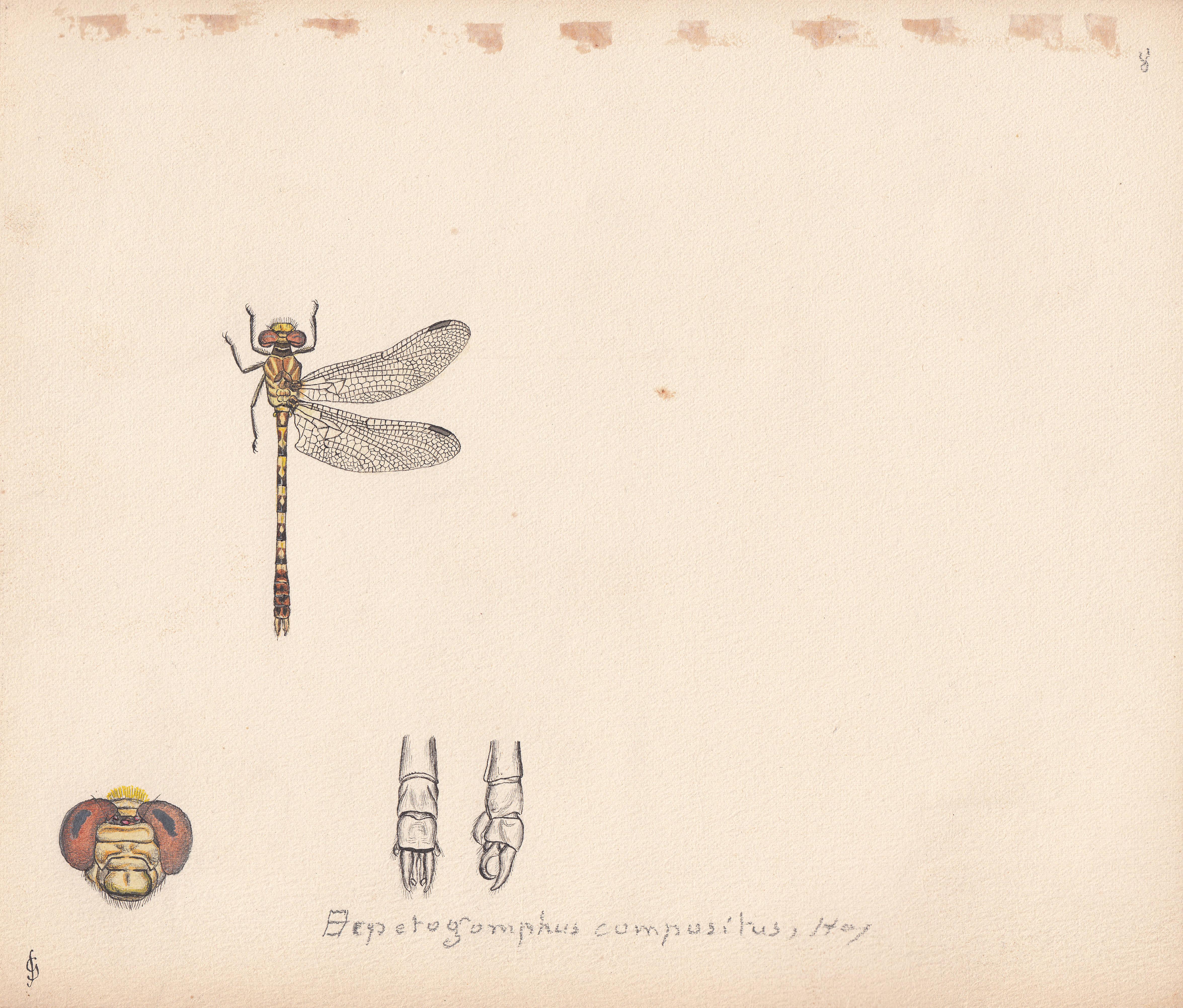 Erpetogomphus compositus.jpg