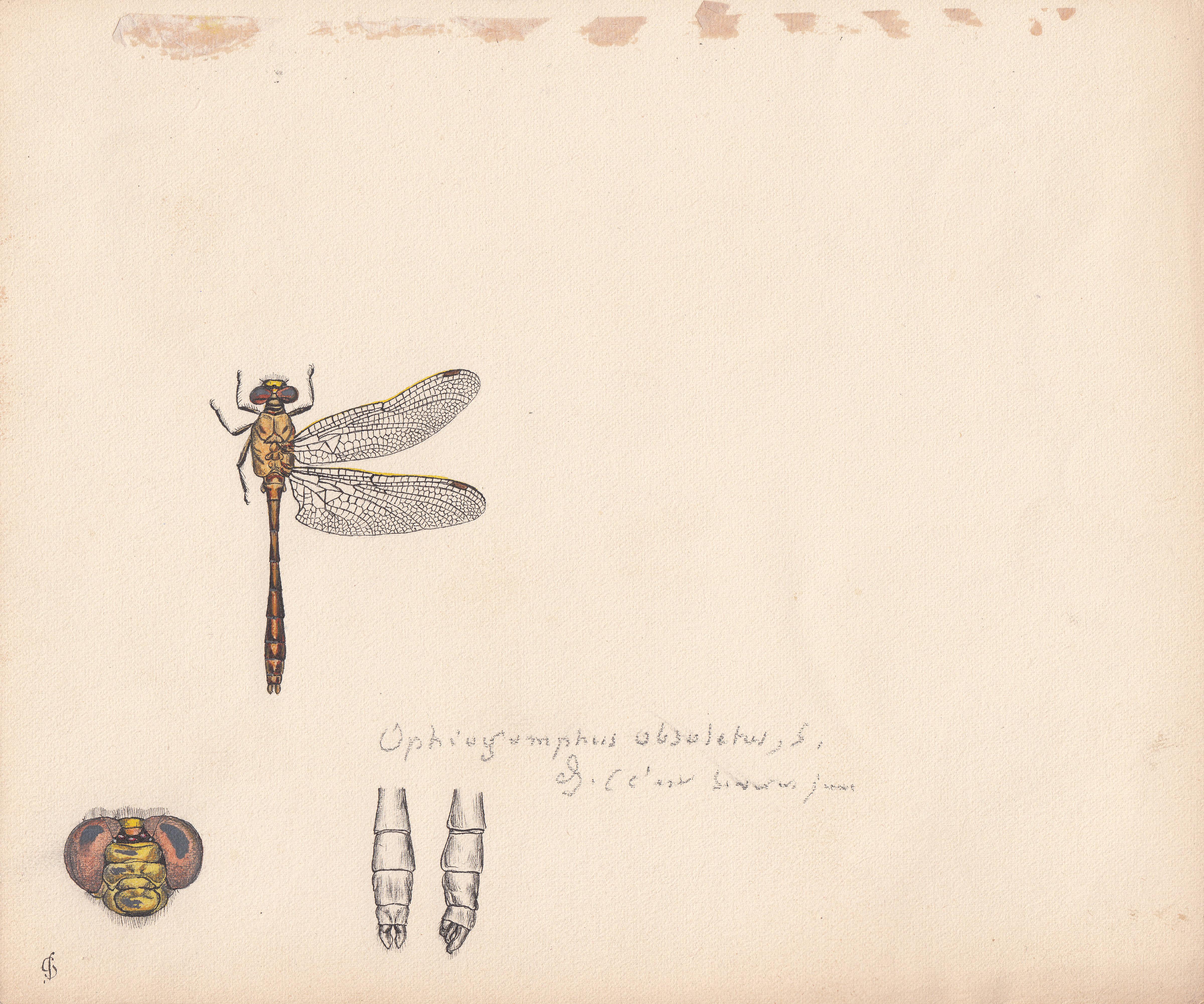 Ophiogomphus obsoletus.jpg