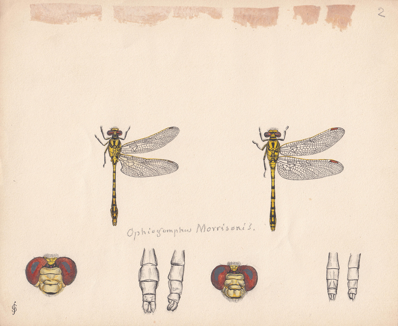 Ophiogomphus morrisoni.jpg