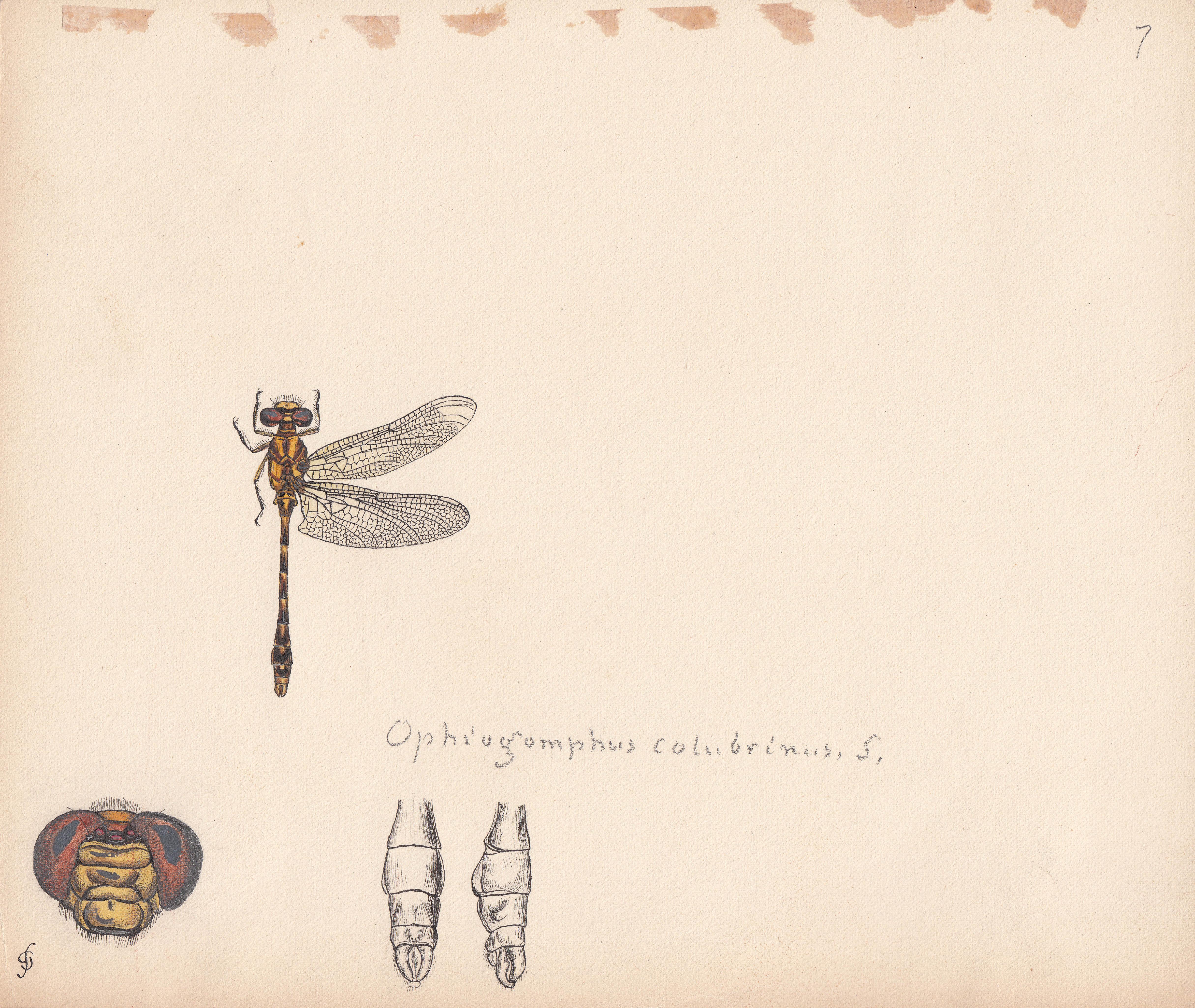 Ophiogomphus colubrinus.jpg