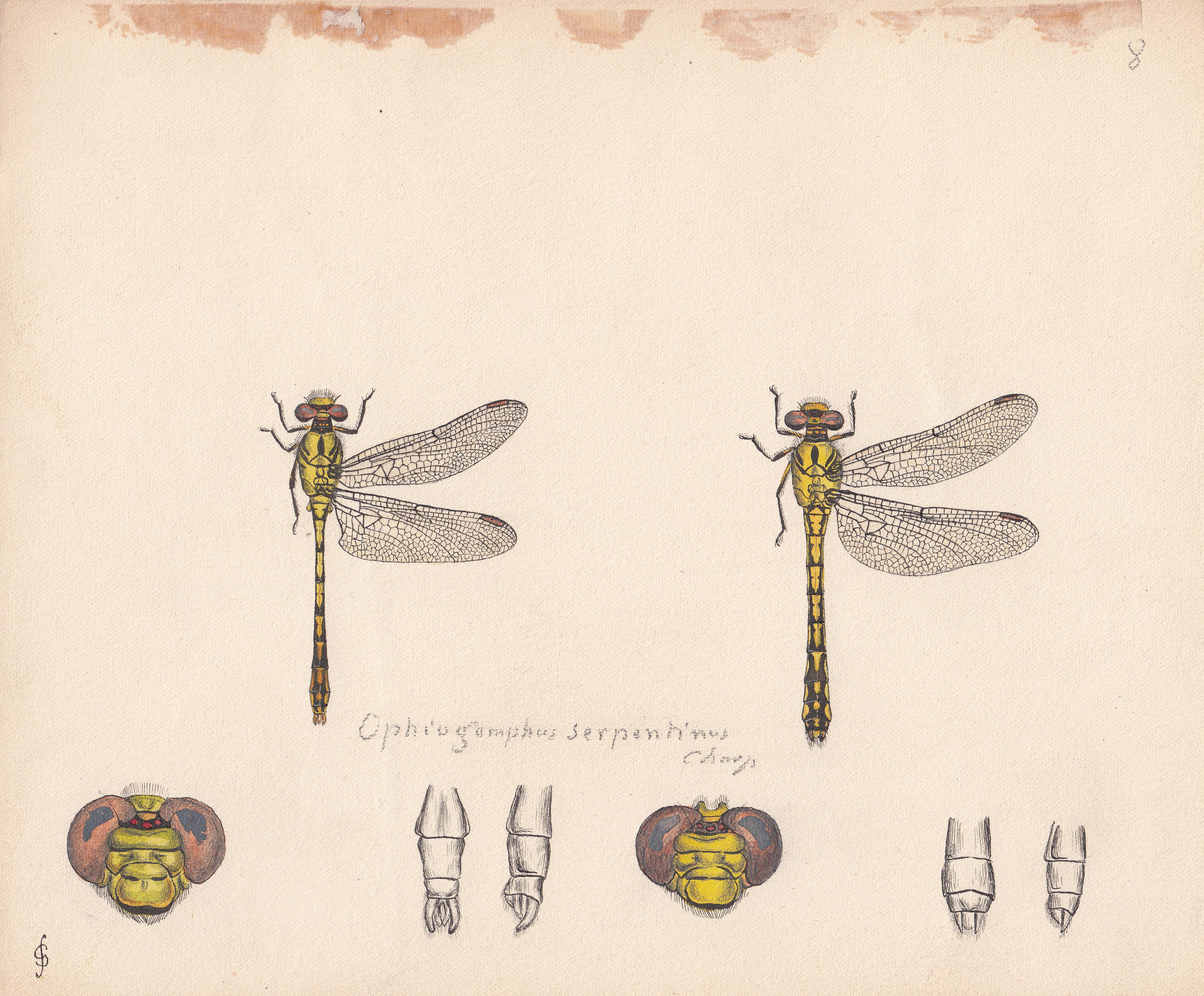 Ophiogomphus serpentinus.jpg