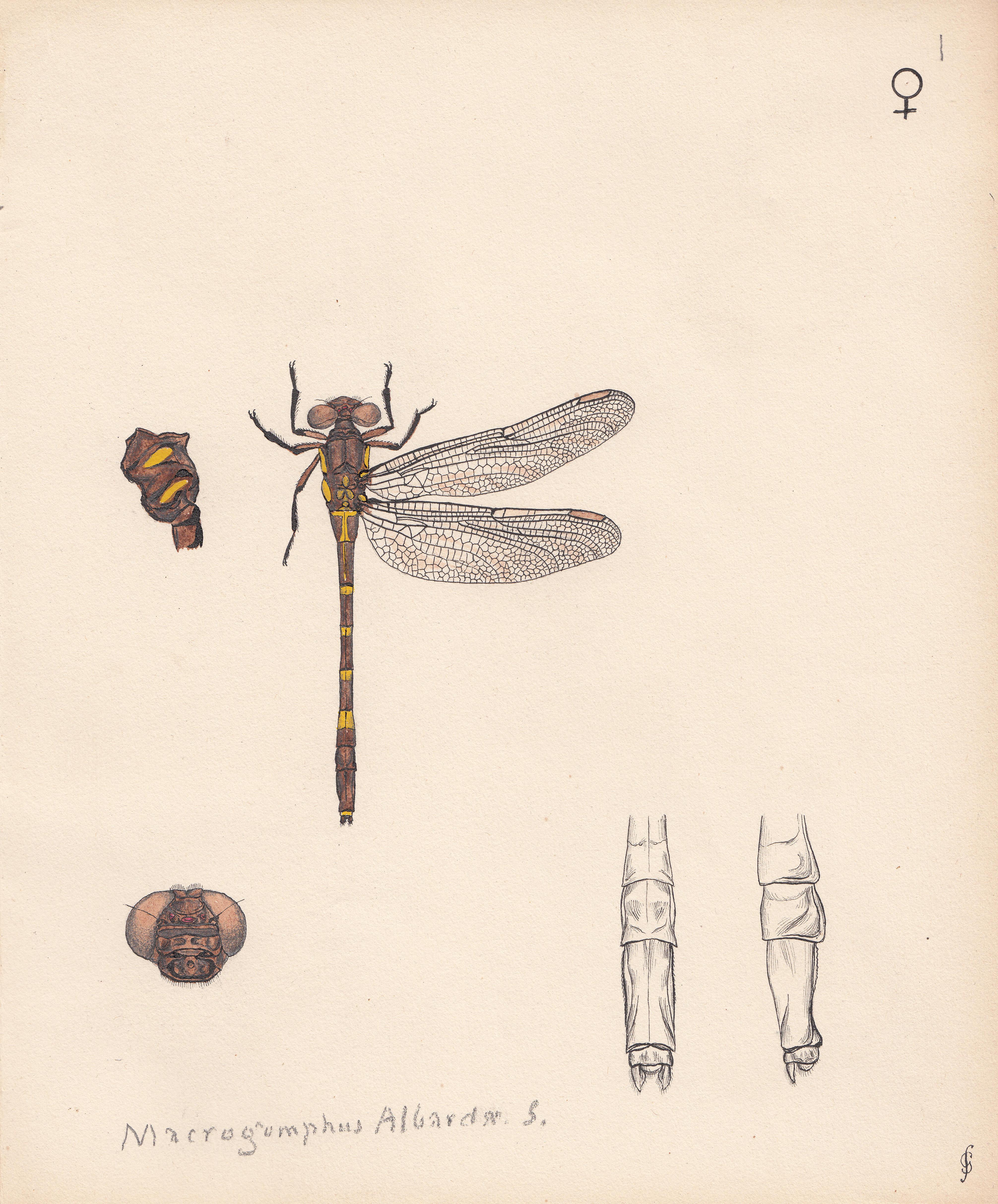 Macrogomphus albardae.jpg
