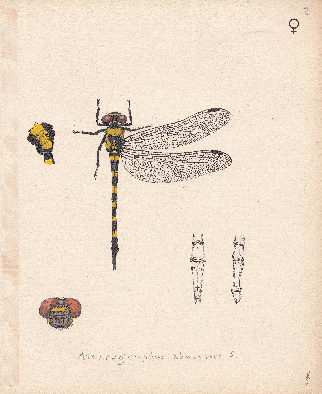 Macrogomphus abnormis.jpg