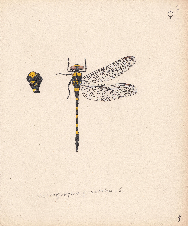 Macrogomphus quadratus.jpg