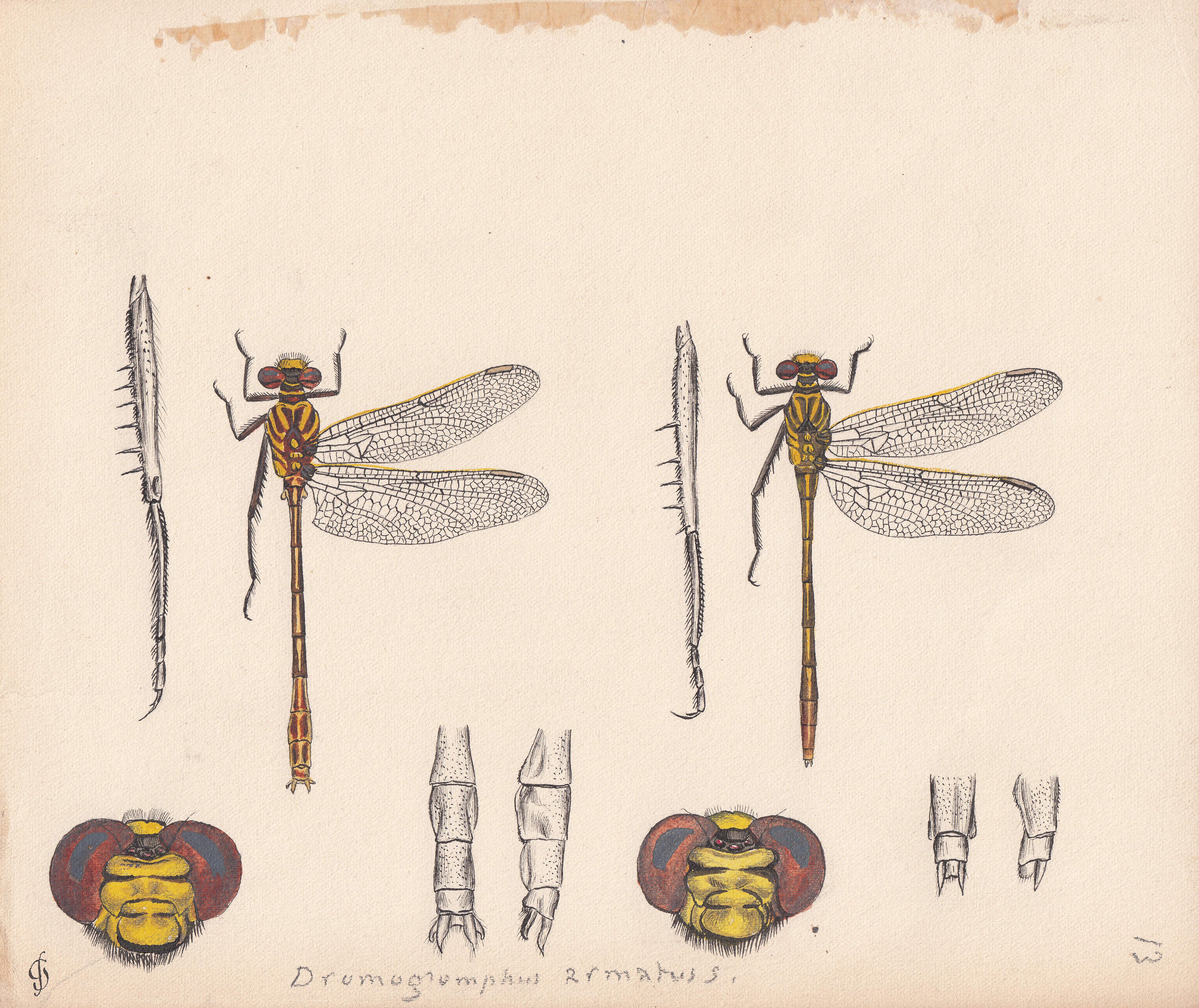 Dromogomphus armatus.jpg