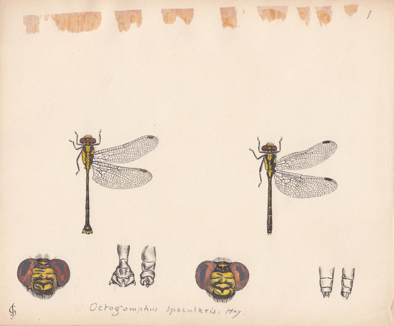 Octogomphus specularis.jpg