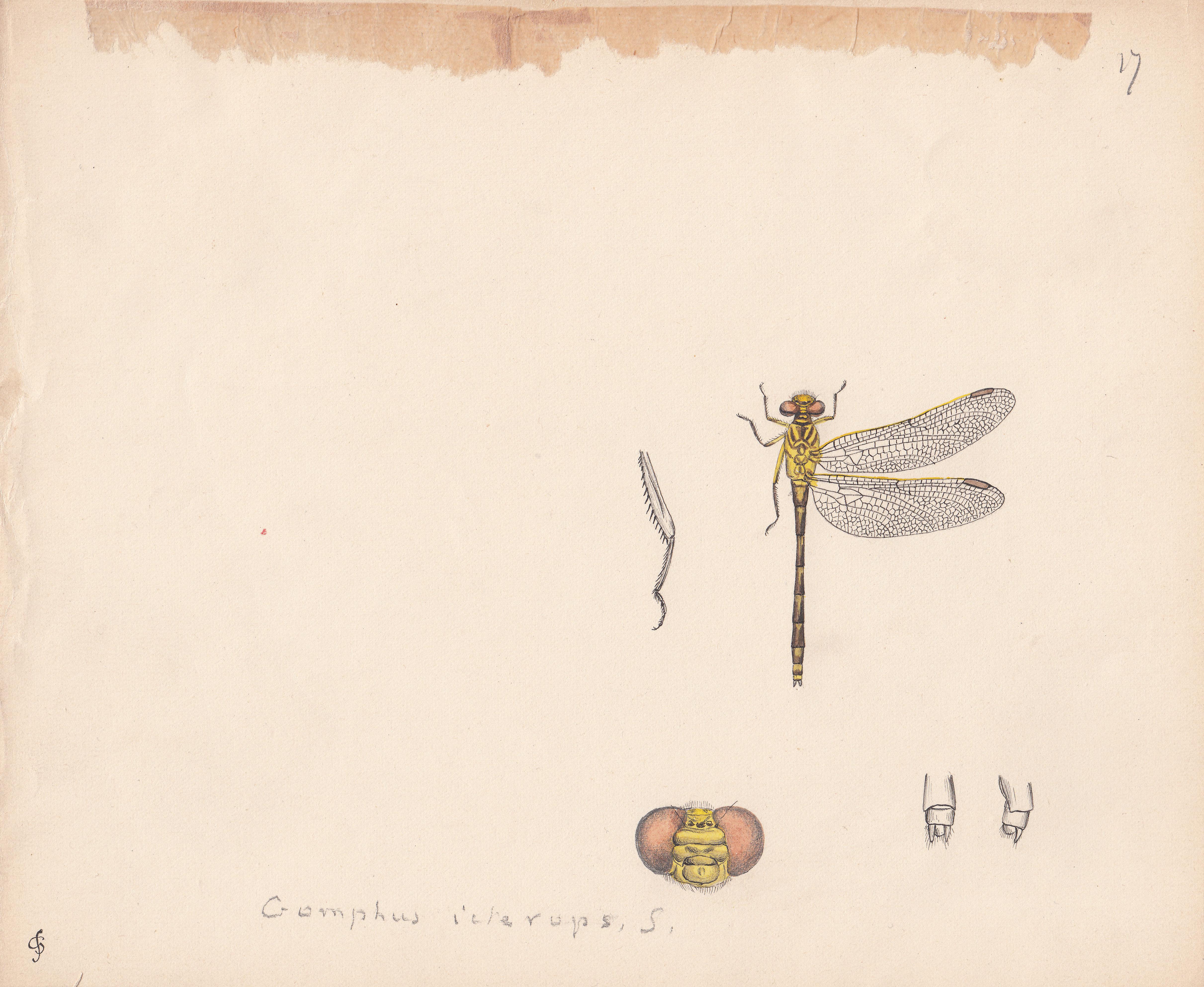 Gomphus icterops.jpg