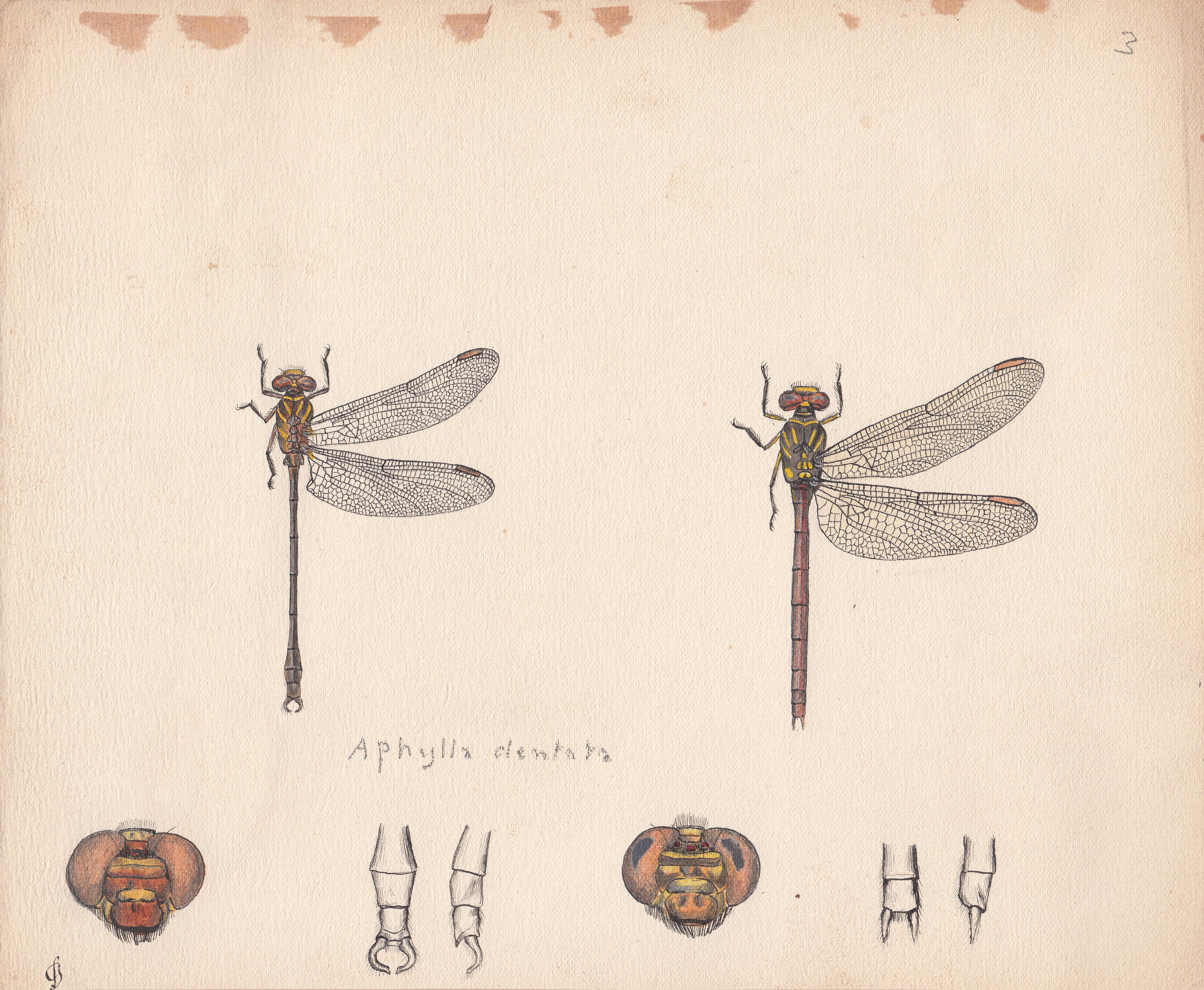 Aphylla dentata.jpg