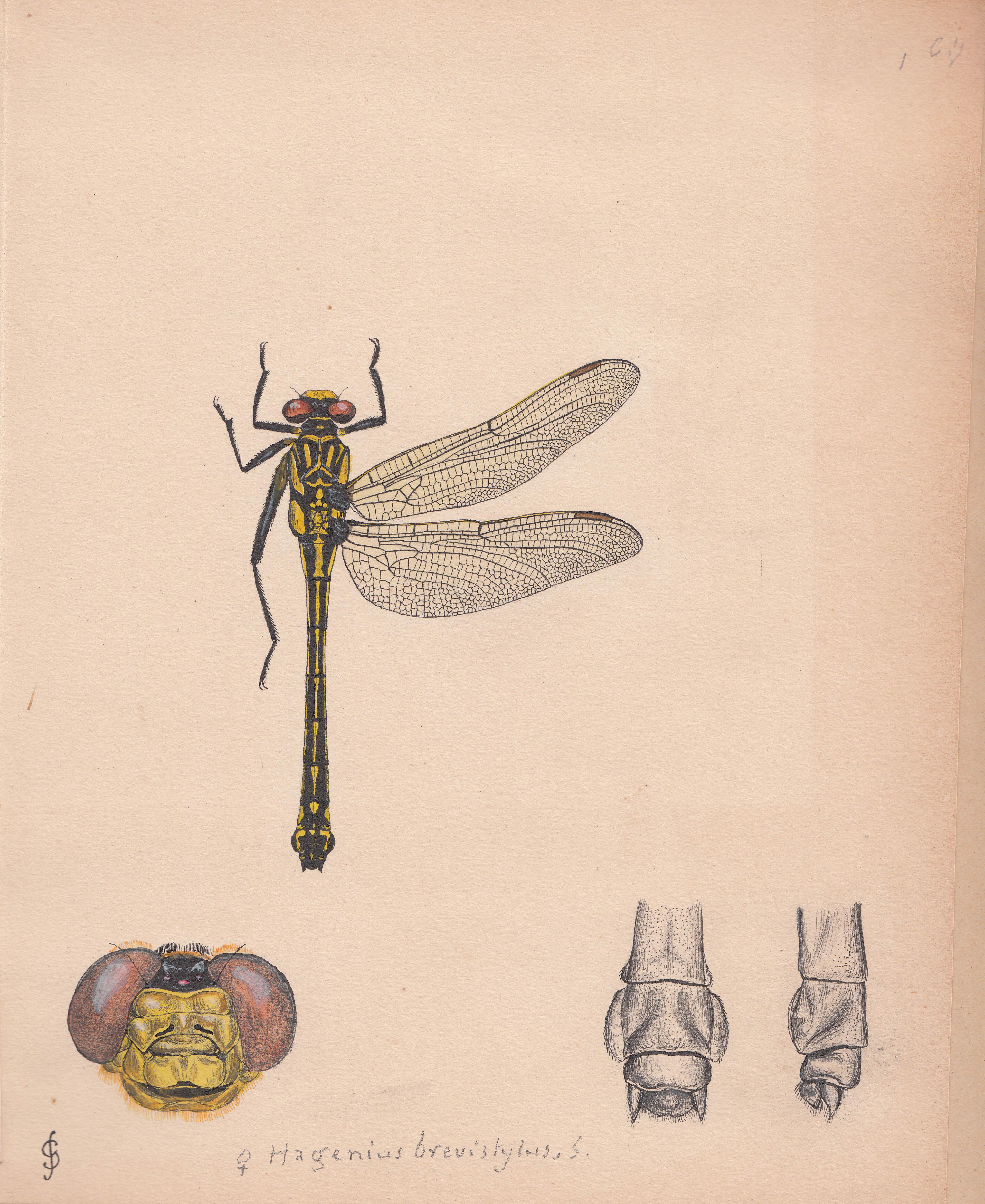 Hagenius brevistylus.jpg