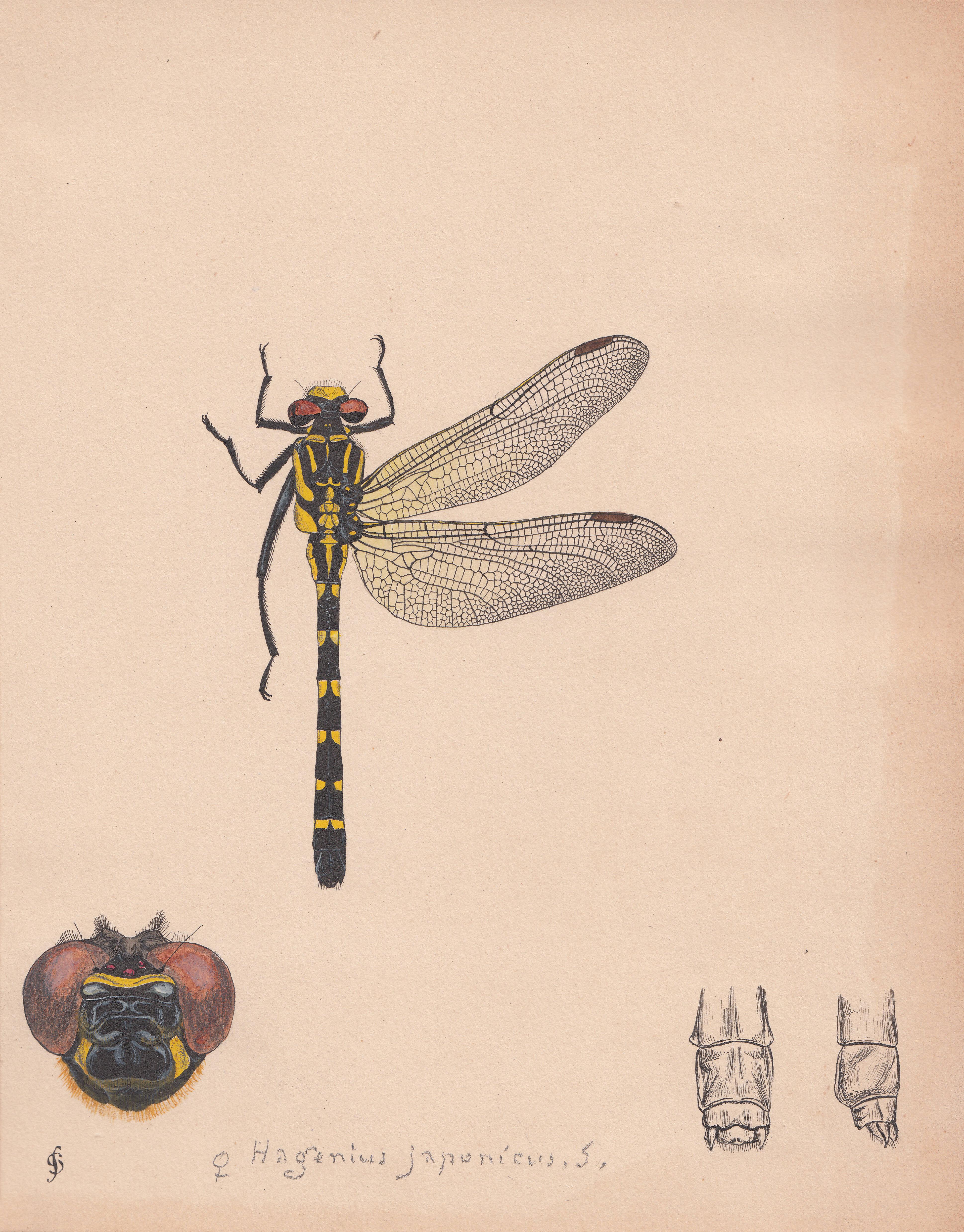 Hagenius japonicus.jpg