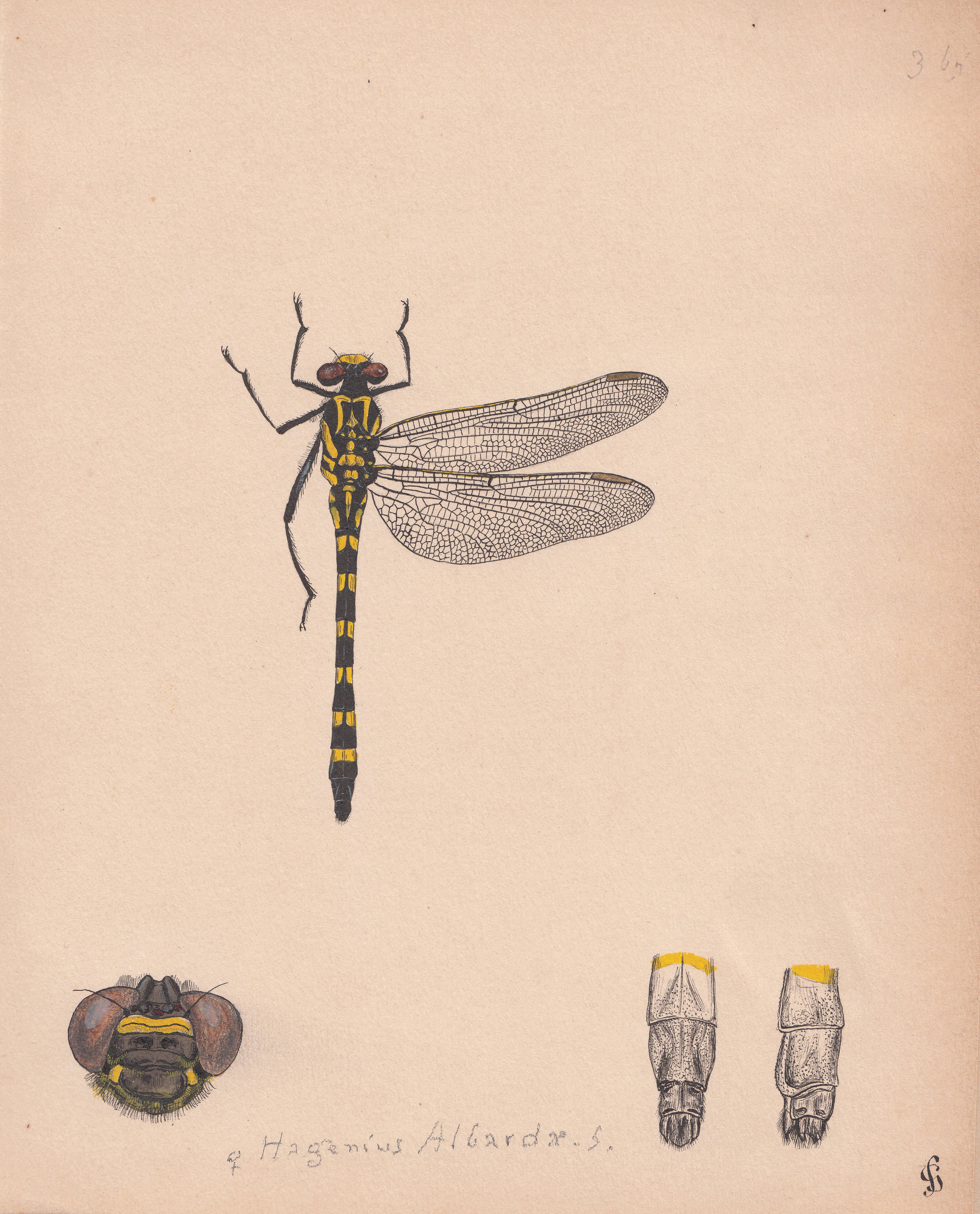 Hagenius albardae.jpg