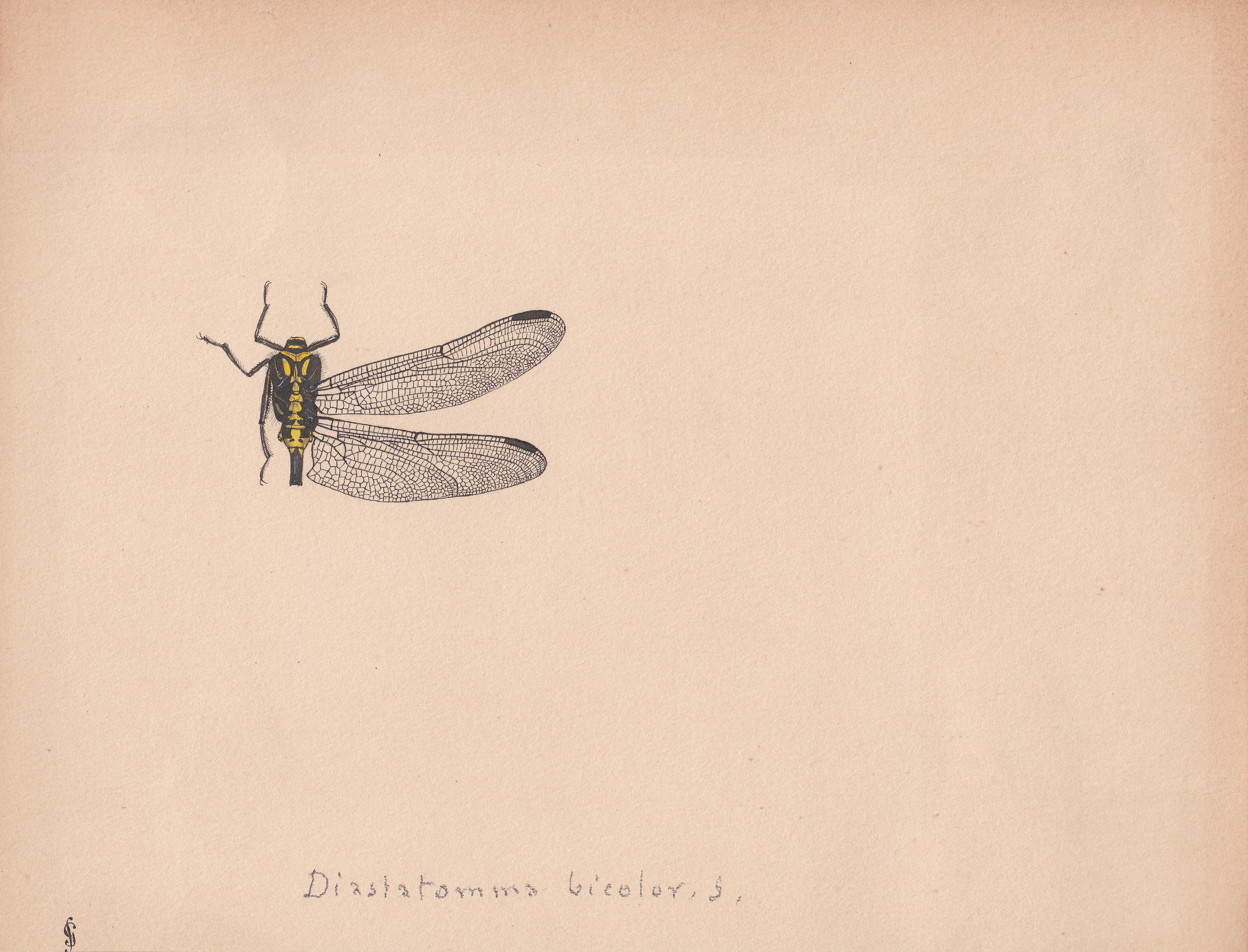 Diastatomma bicolor.jpg