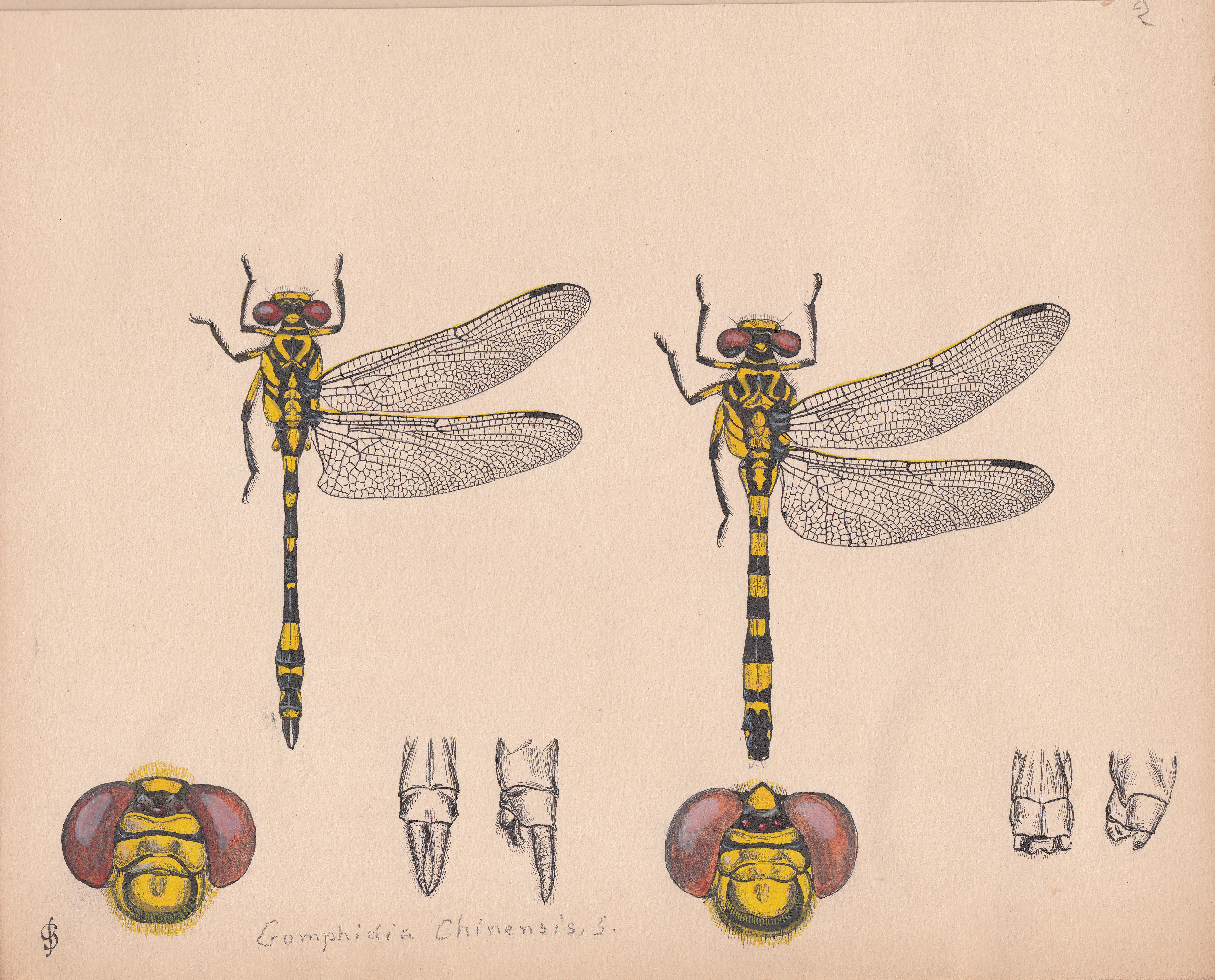 Gomphidia chinensis.jpg