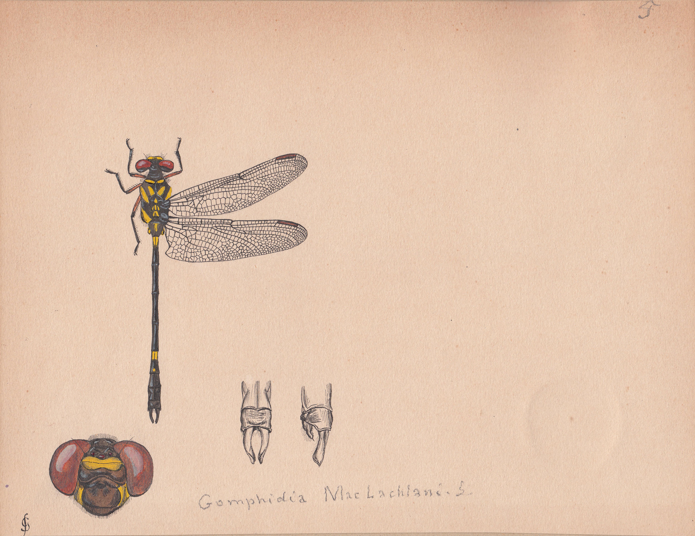 Gomphidia maclachlani.jpg