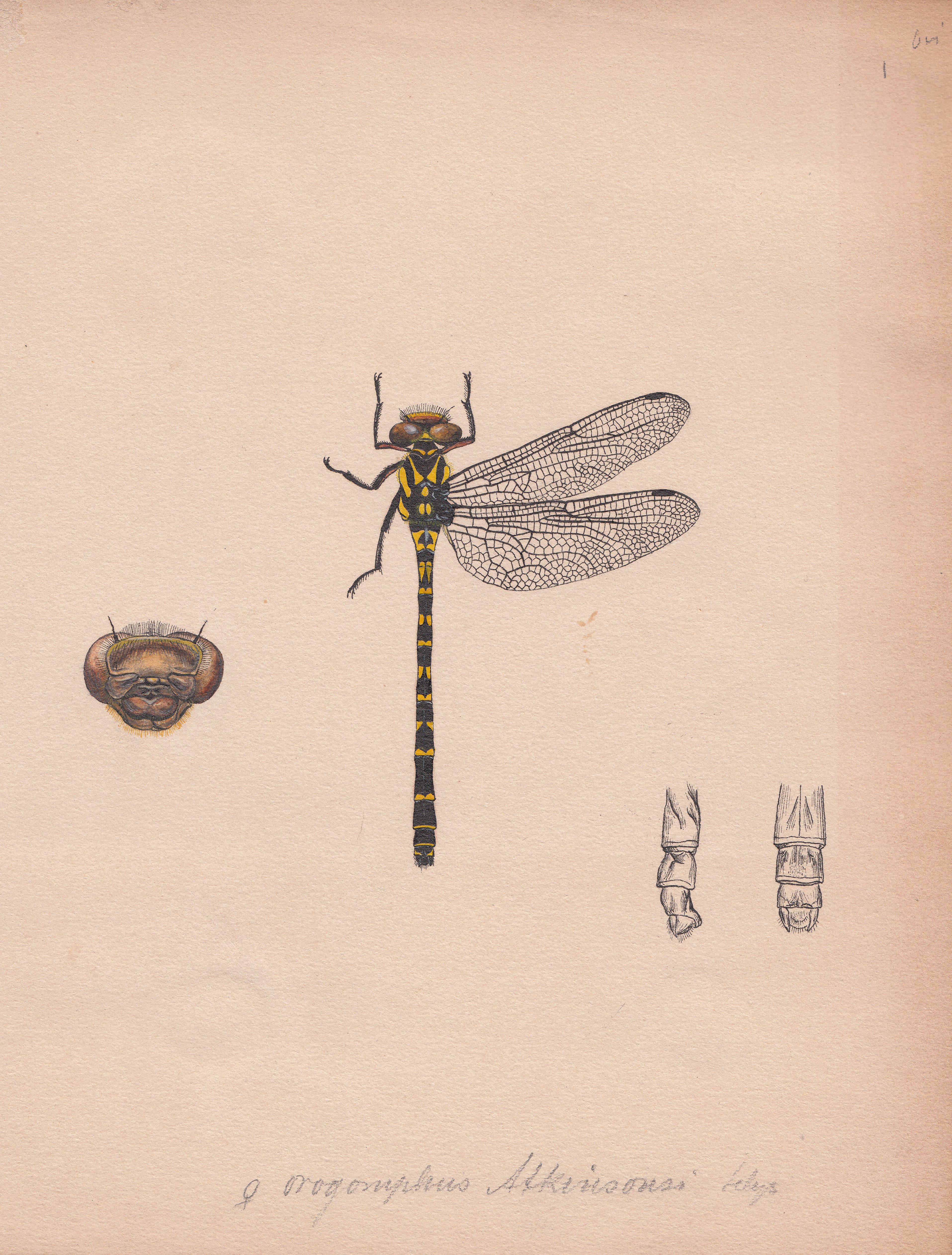 Orogomphus atkinsonsi.jpg