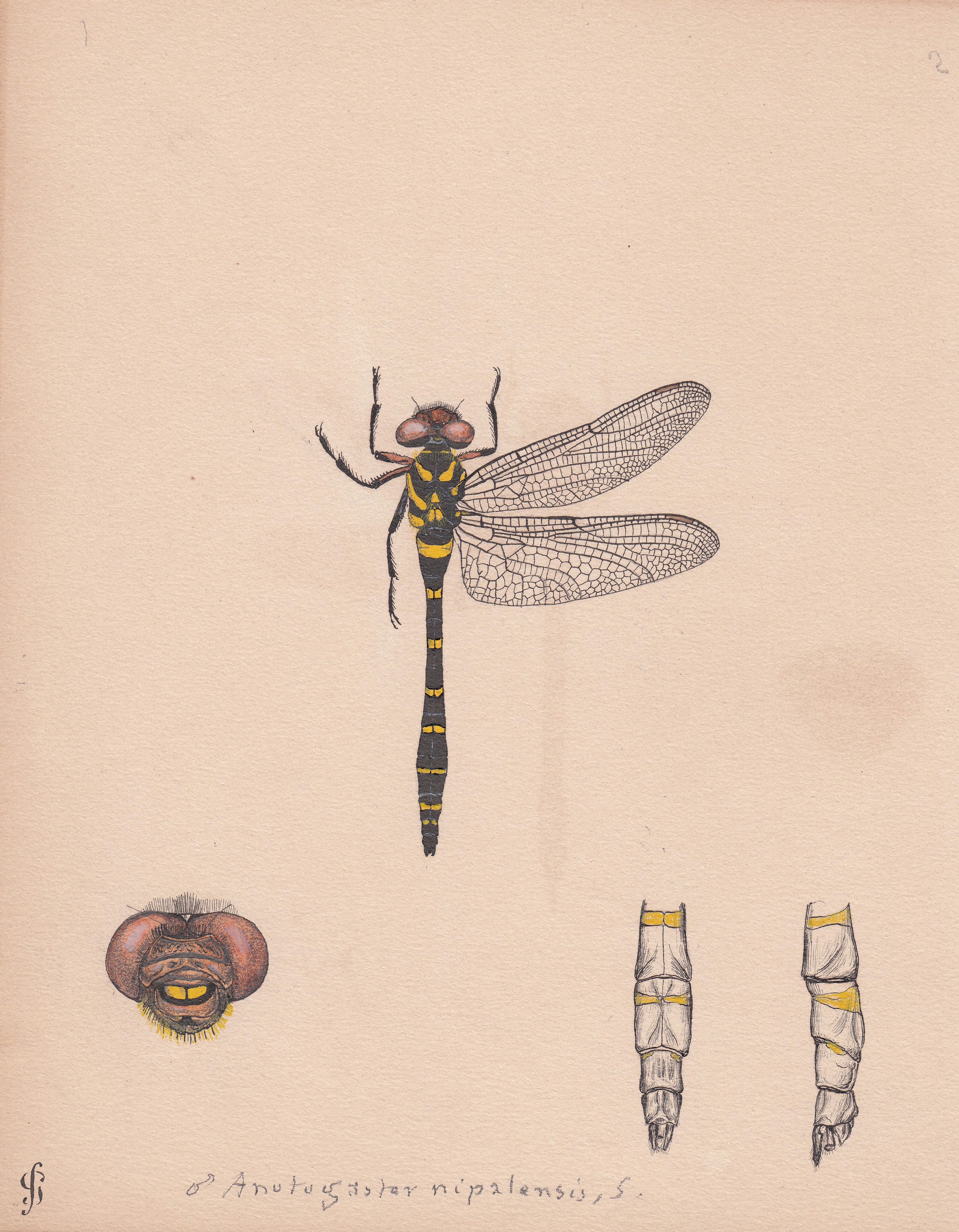 Anotogaster nipalensis.jpg